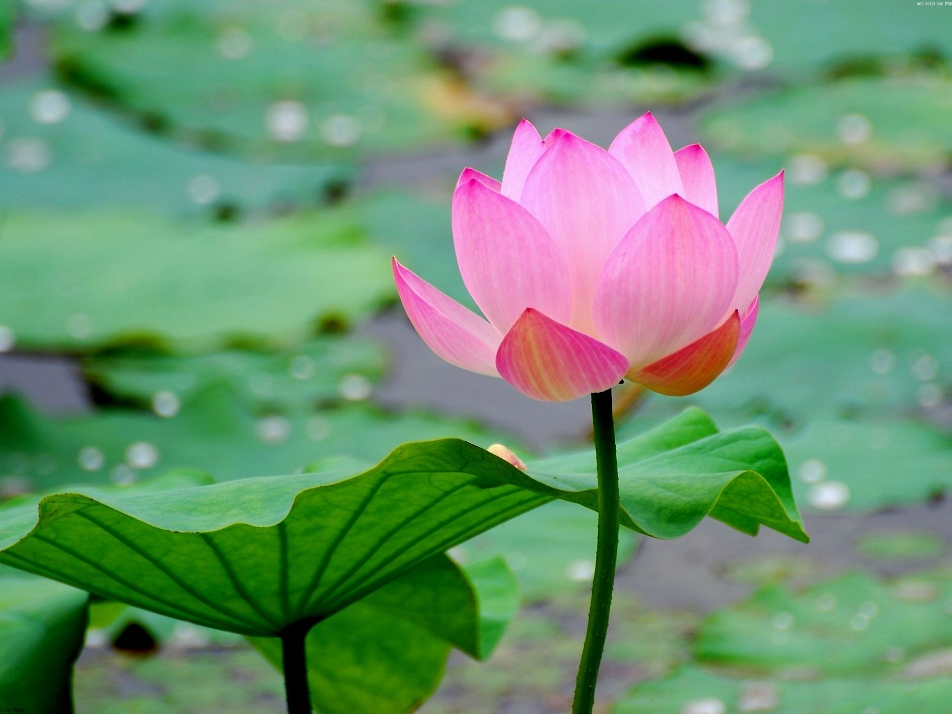 47 Best Free Japanese Lotus Art Wallpapers Wallpaperaccess