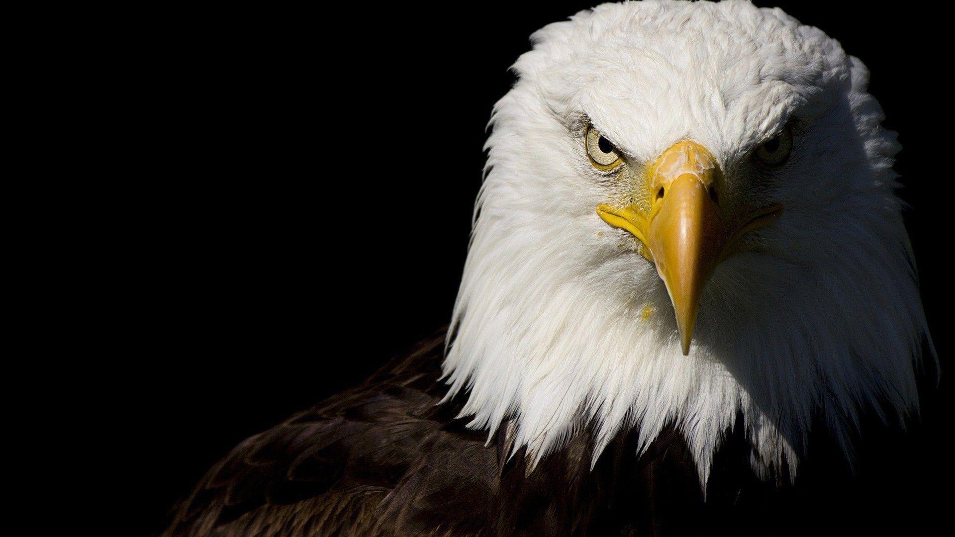 Bald Eagle Hd Wallpapers Top Free Bald Eagle Hd