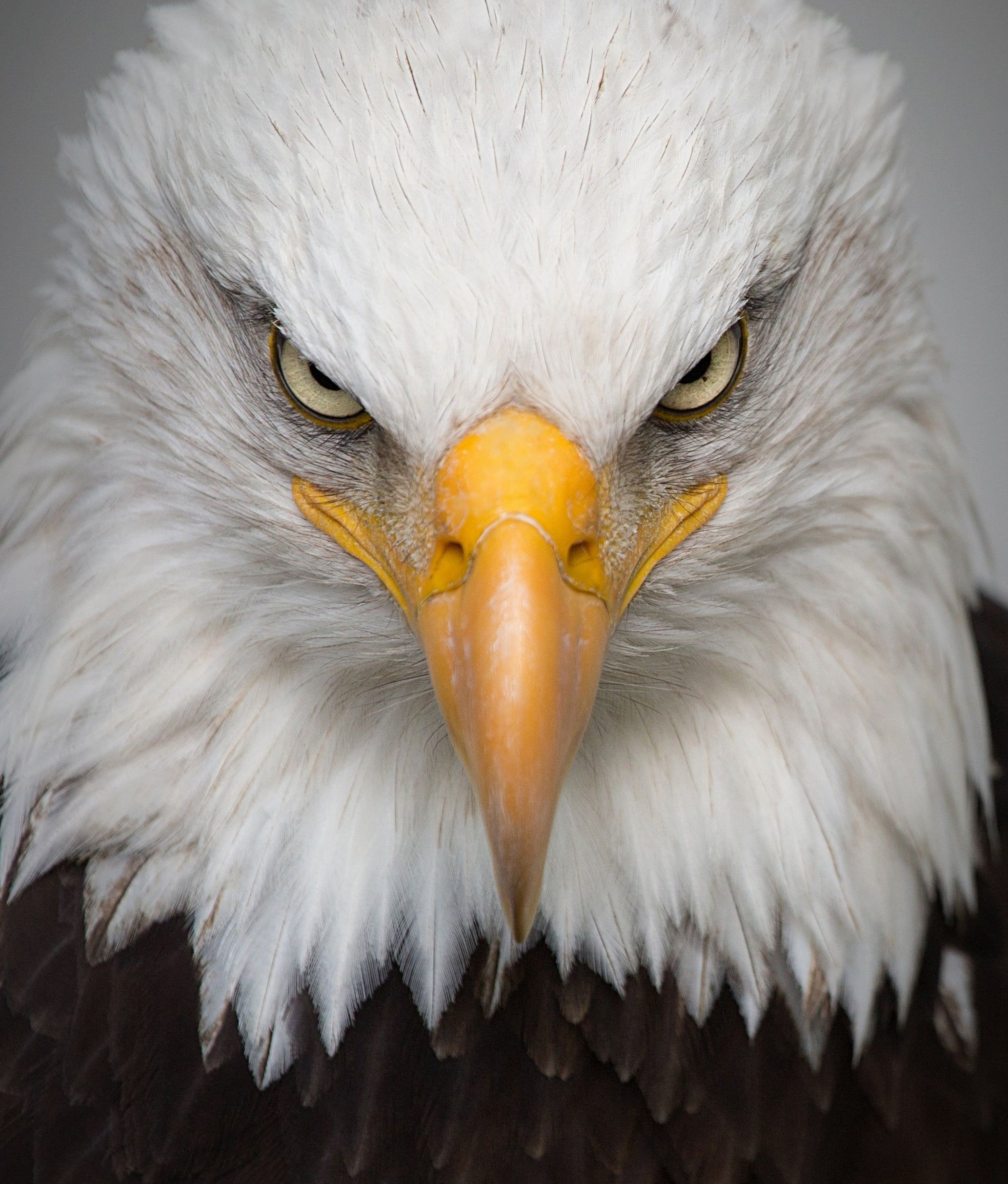 Bald Eagle HD Wallpapers - Top Free Bald Eagle HD ...