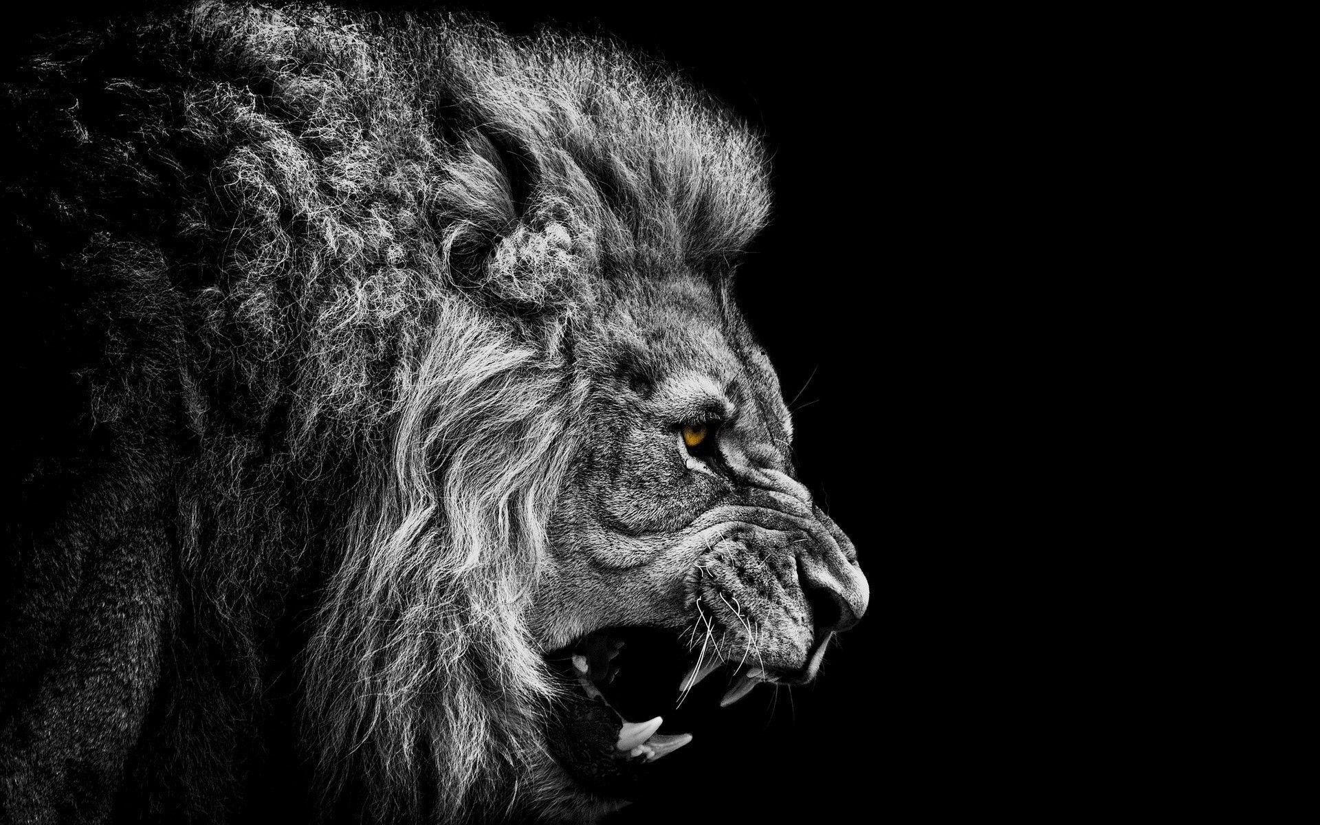 Epic Lion Wallpapers Top Free Epic Lion Backgrounds Wallpaperaccess