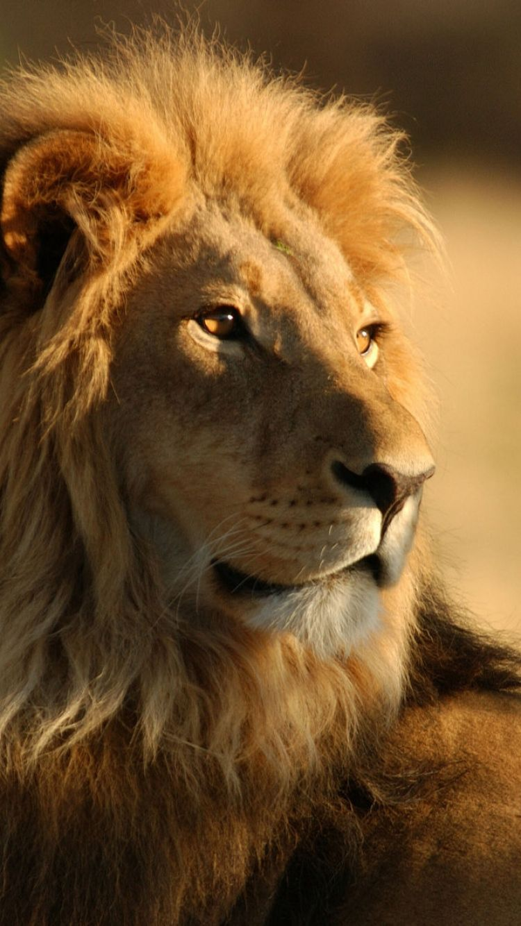 "1366x768 lion wallpaper epic – Best Wallpaper Download"">"