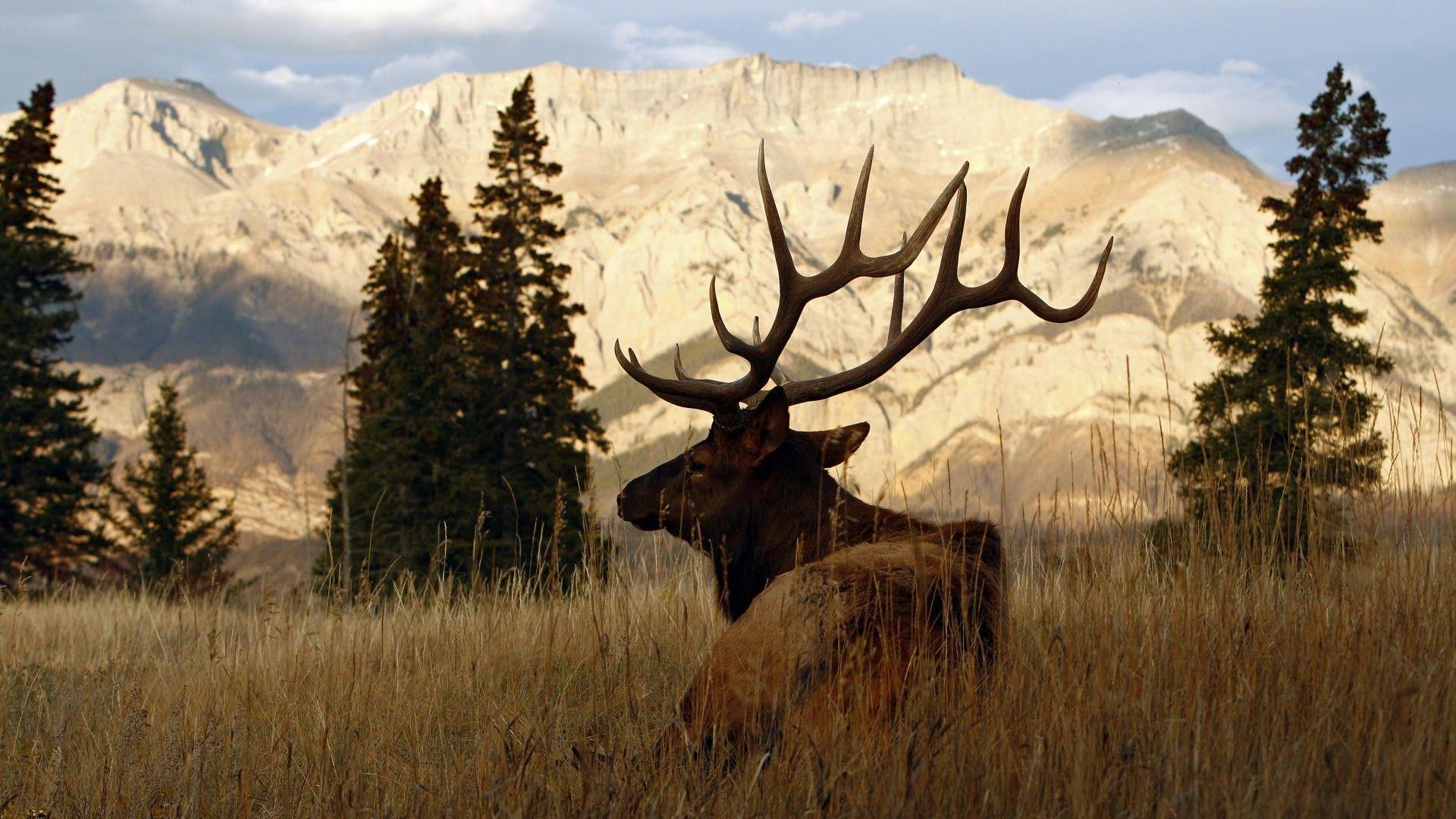 Elk Wallpapers - Top Free Elk