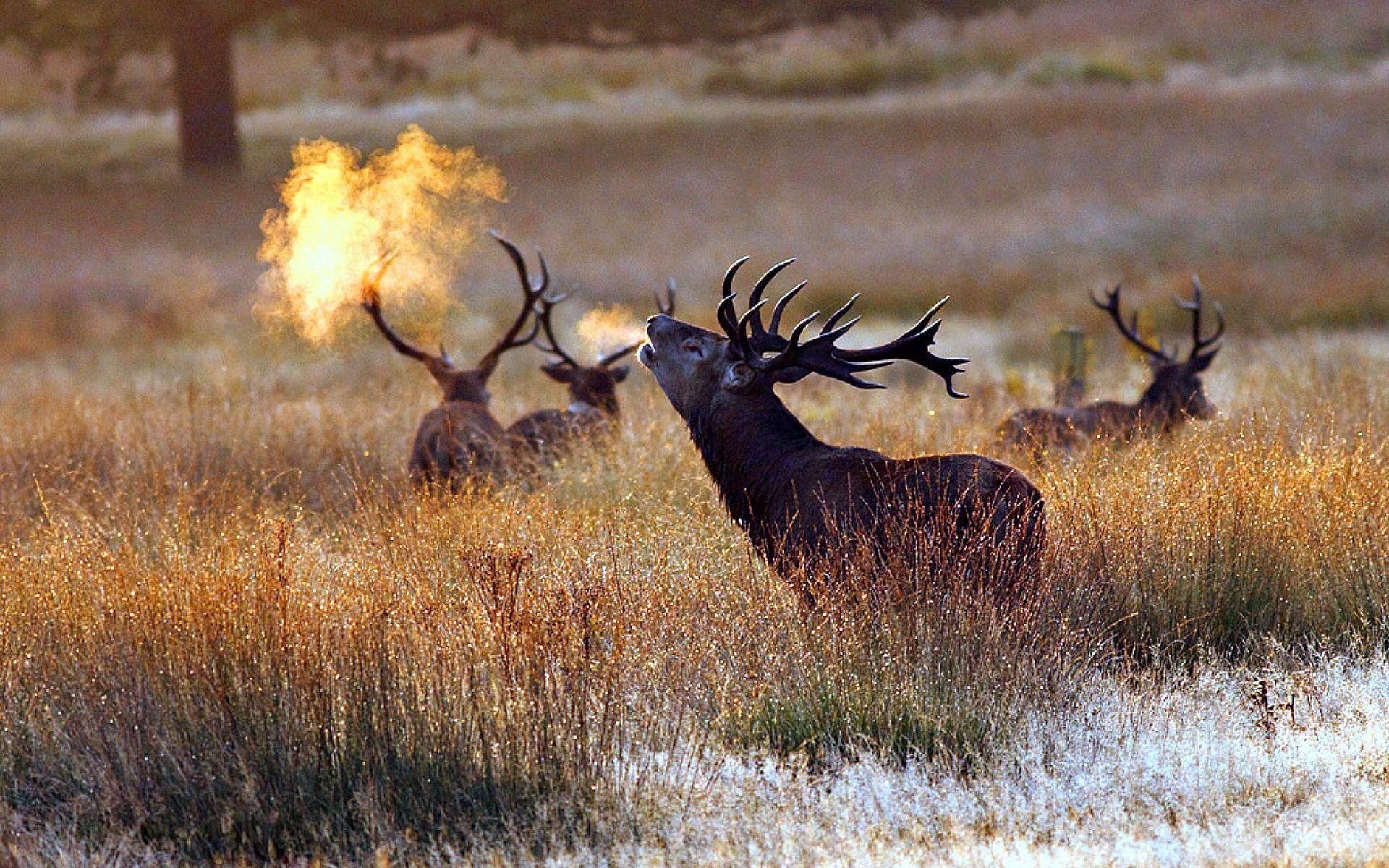 Bull Elk Wallpapers - Top Free Bull Elk