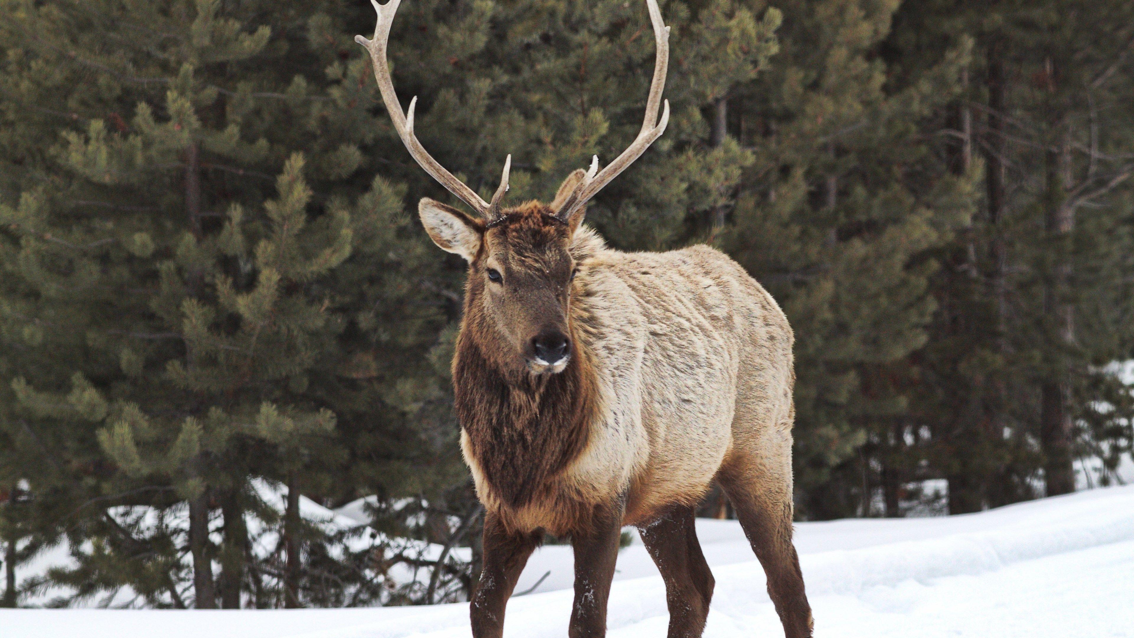 Bull elk wallpapers top free bull elk backgrounds wallpaperaccess - Elk hunting wallpaper ...