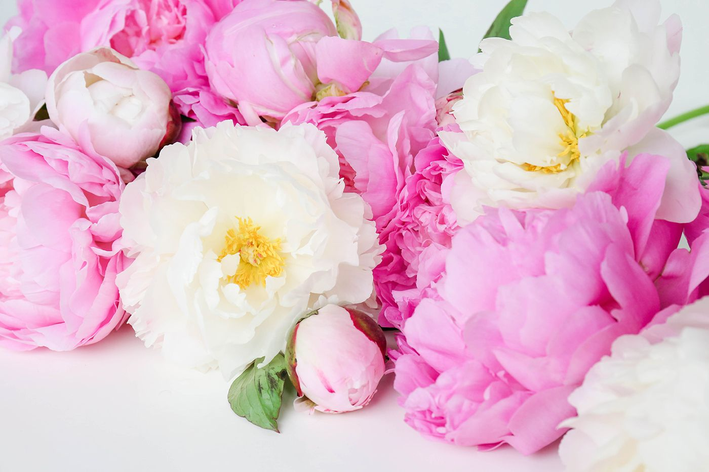 Peony Wallpapers Top Free Peony Backgrounds Wallpaperaccess