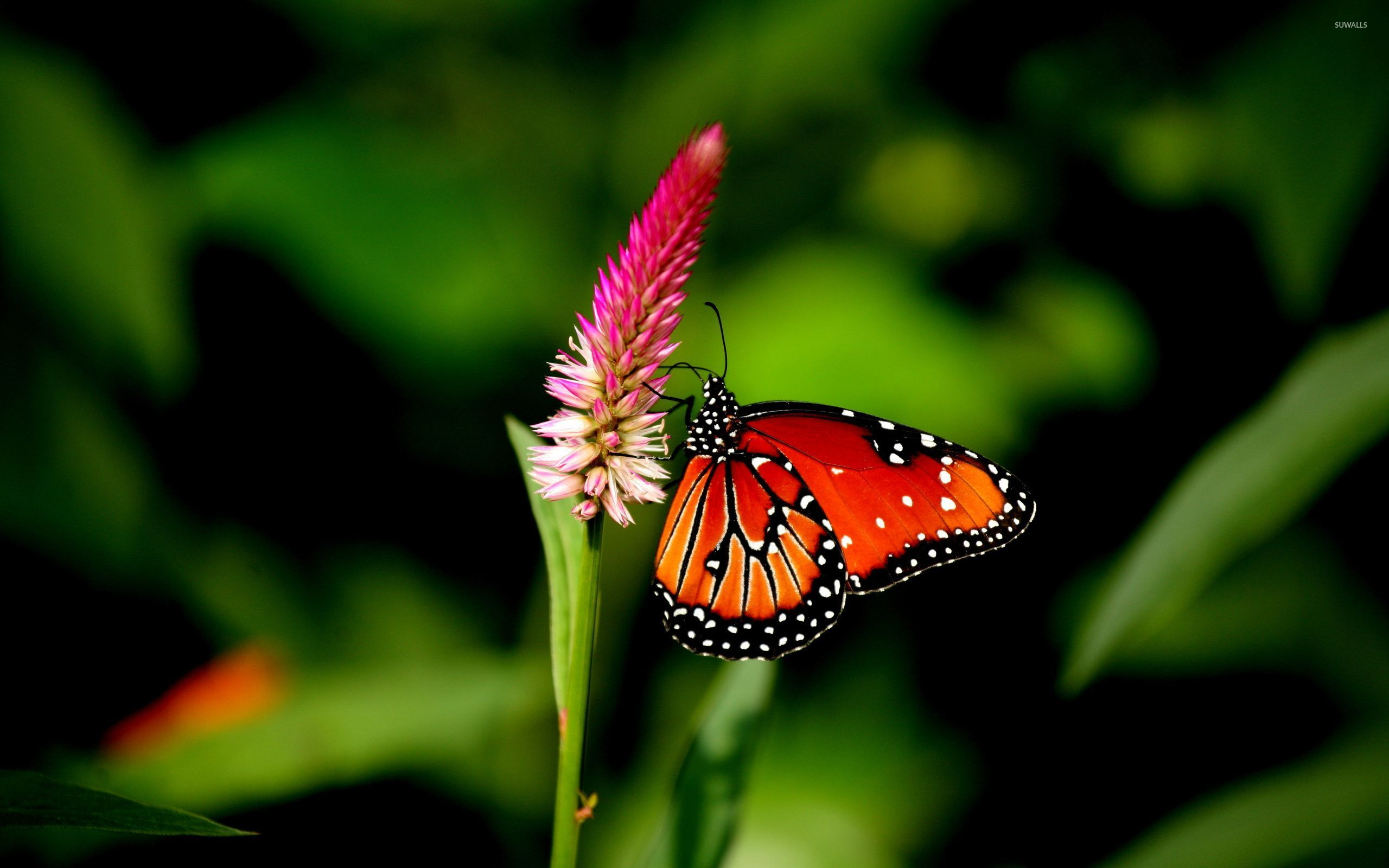 Red Butterfly Wallpapers Top Free Red Butterfly