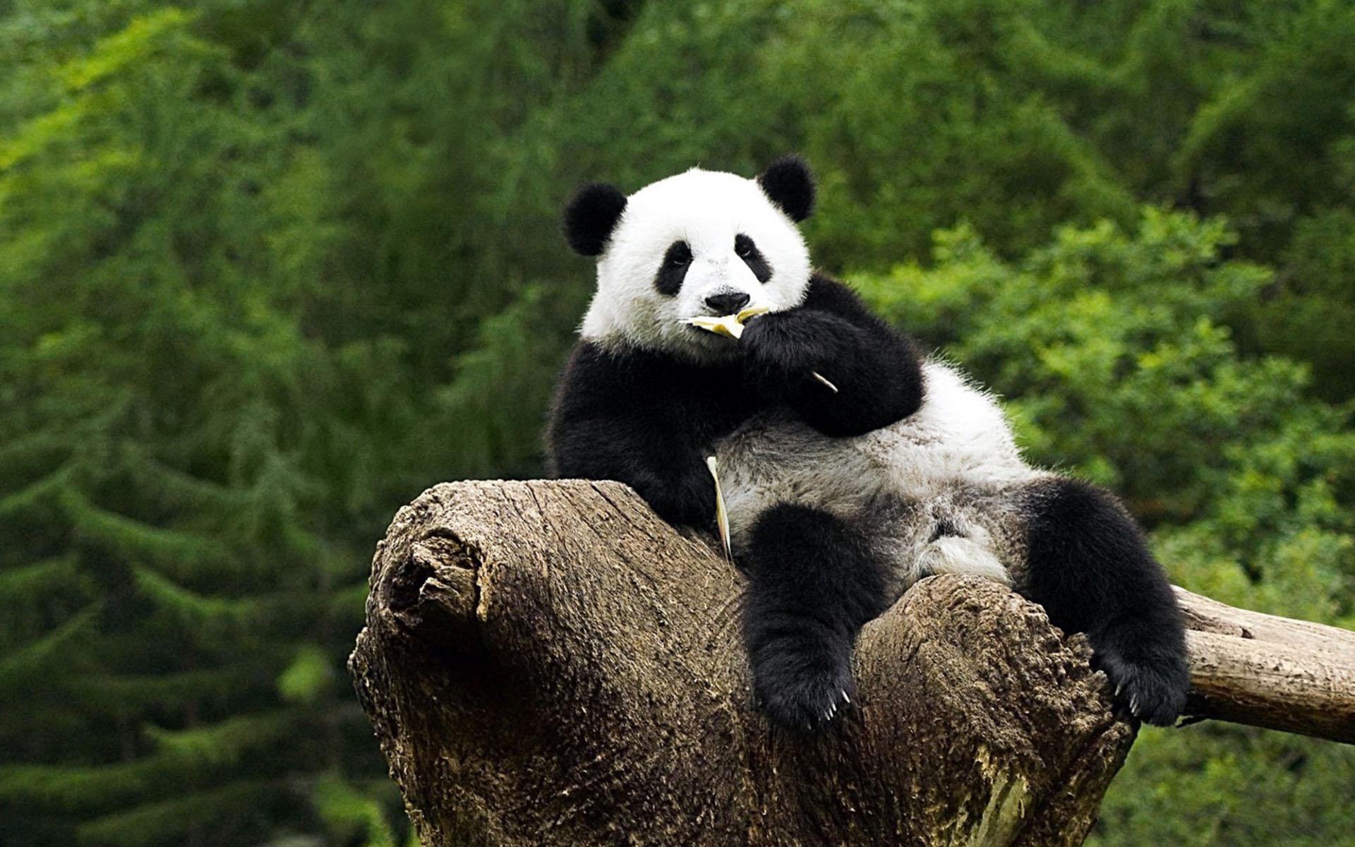 Panda Wallpapers Top Free Panda Backgrounds Wallpaperaccess