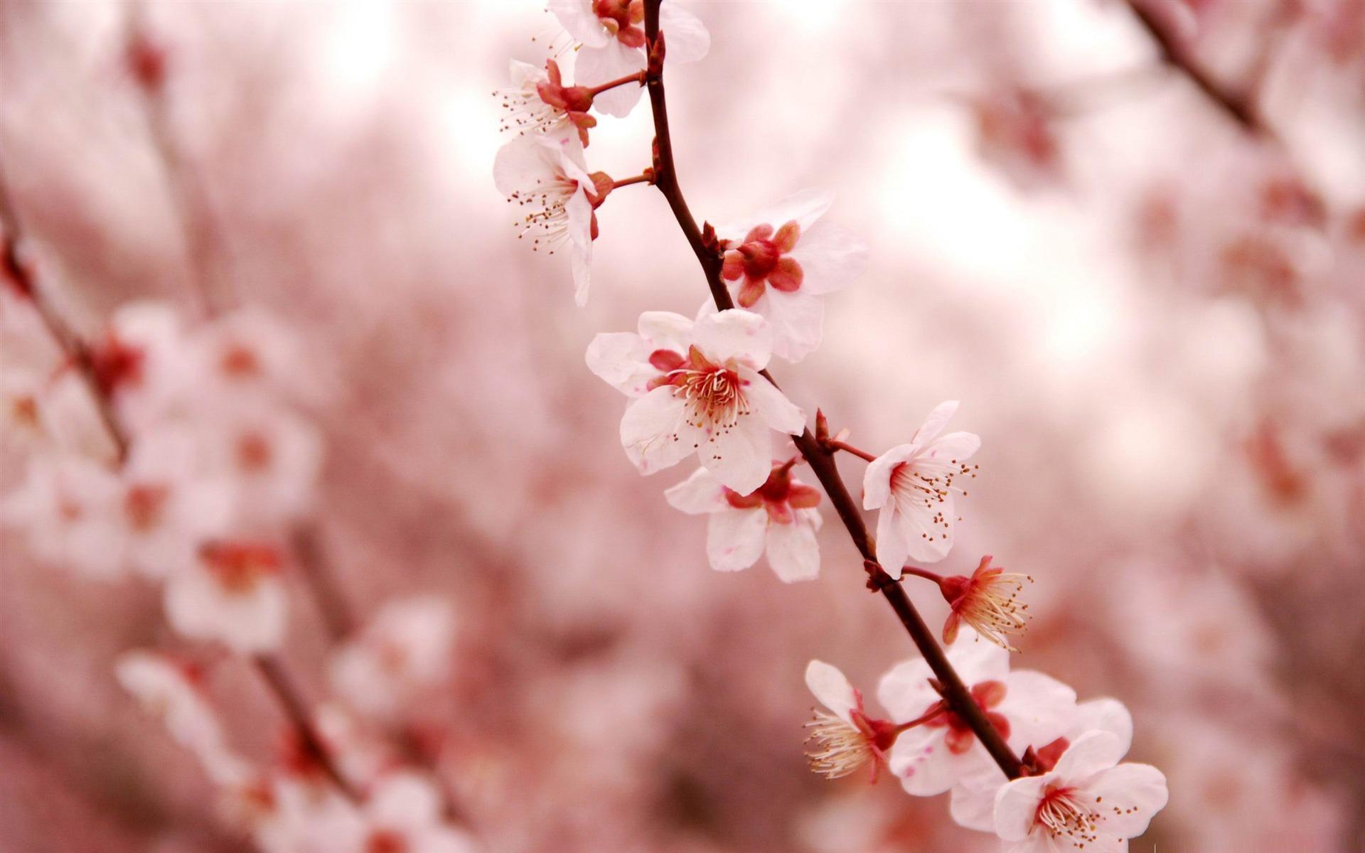 Sakura Wallpapers Top Free Sakura Backgrounds