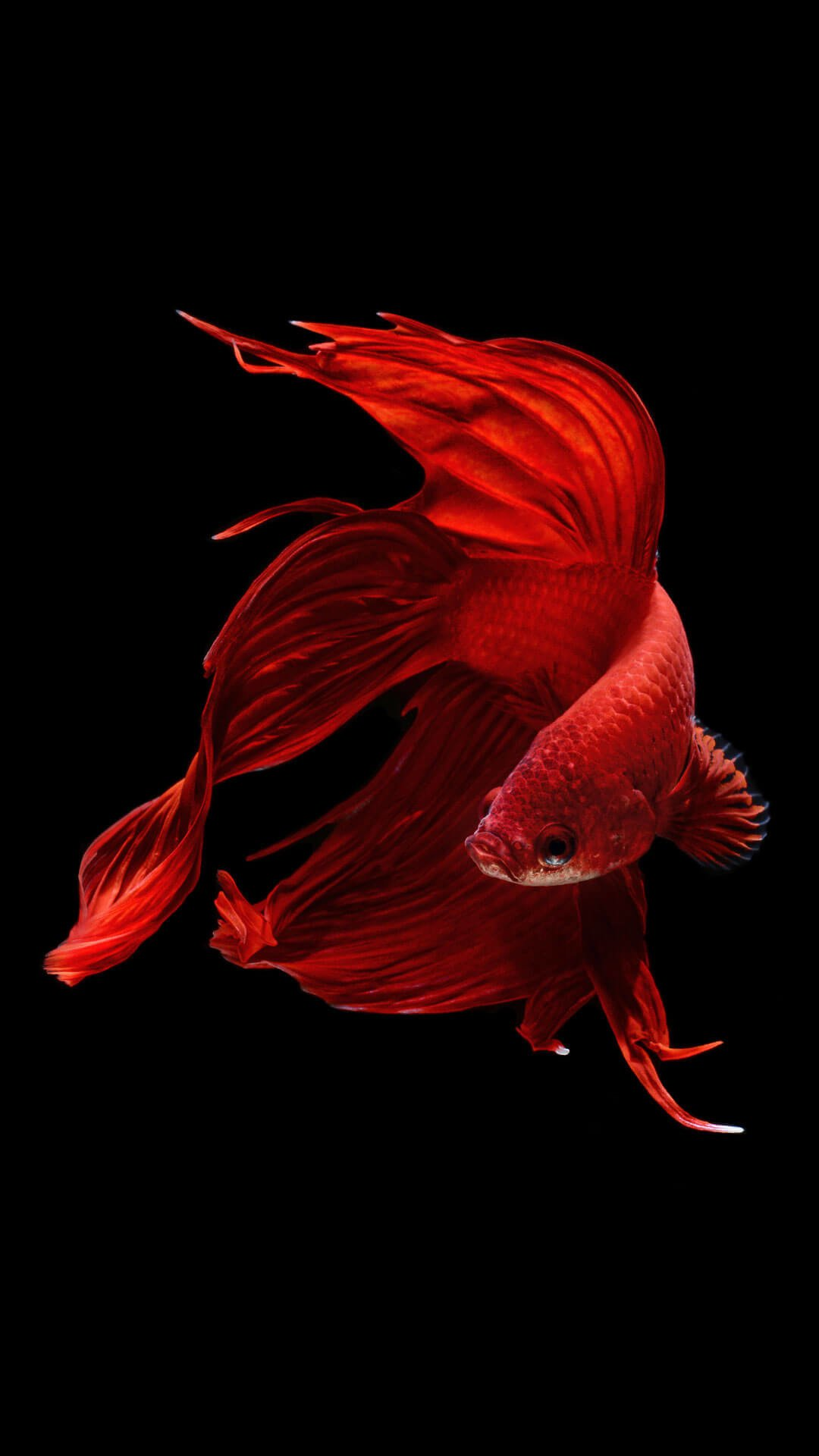 Red Fish Wallpapers Top Free Red Fish Backgrounds Wallpaperaccess