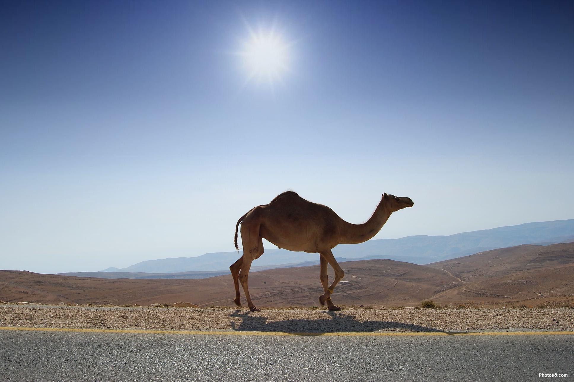 Desert Camel Wallpapers Top Free Desert Camel Backgrounds