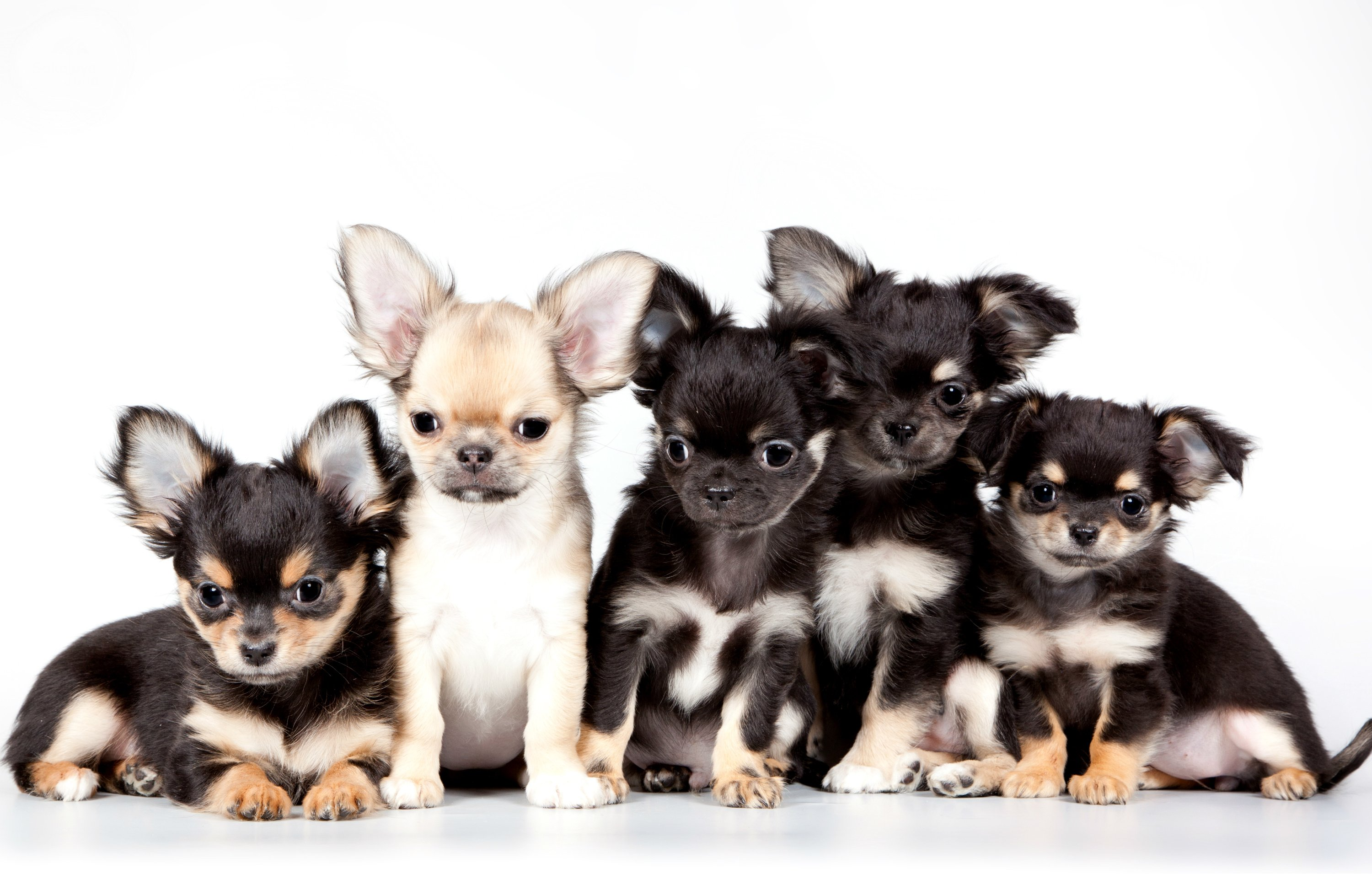 Chihuahua Wallpapers - Top Free
