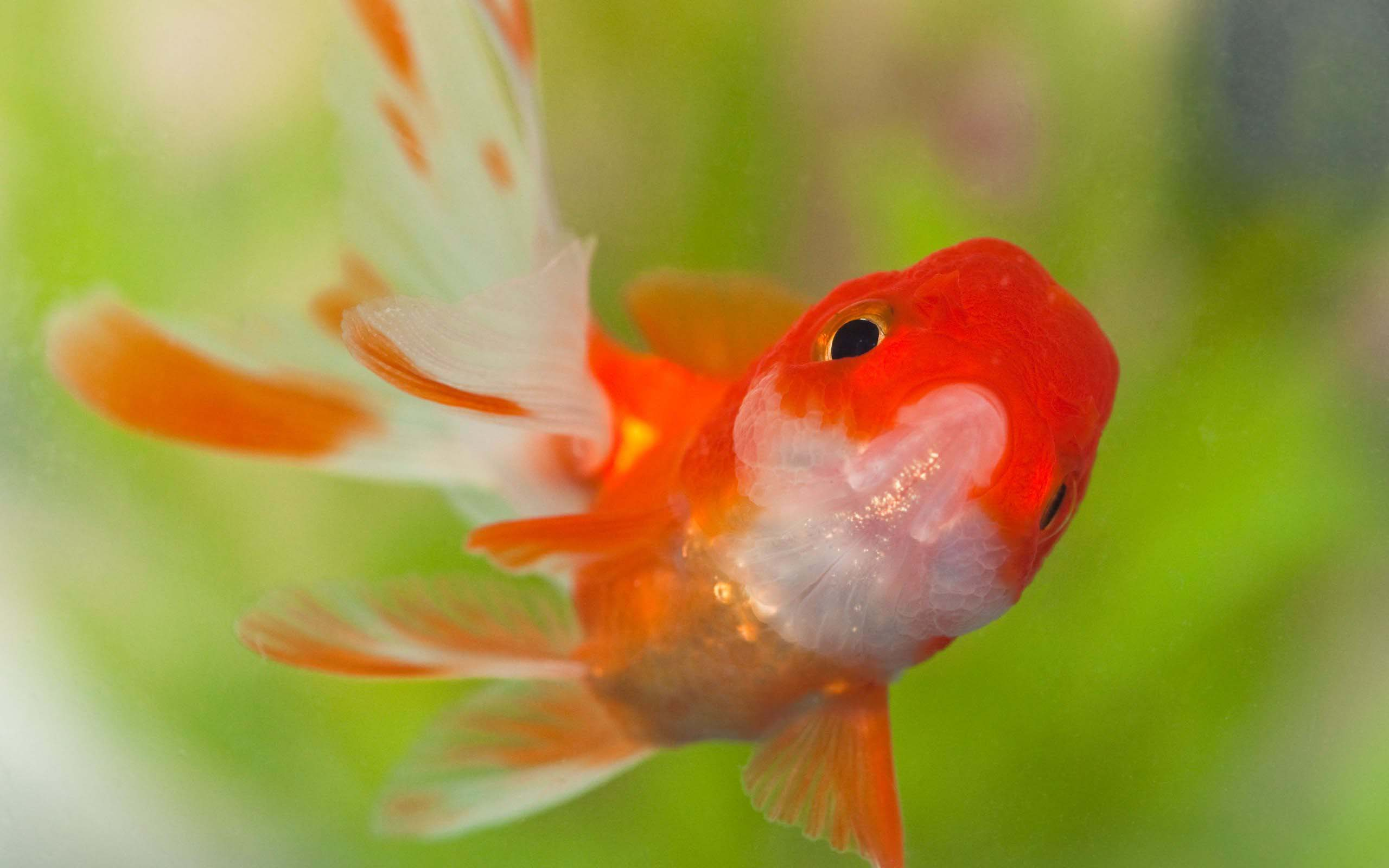 Goldfish Wallpapers Top Free Goldfish Backgrounds