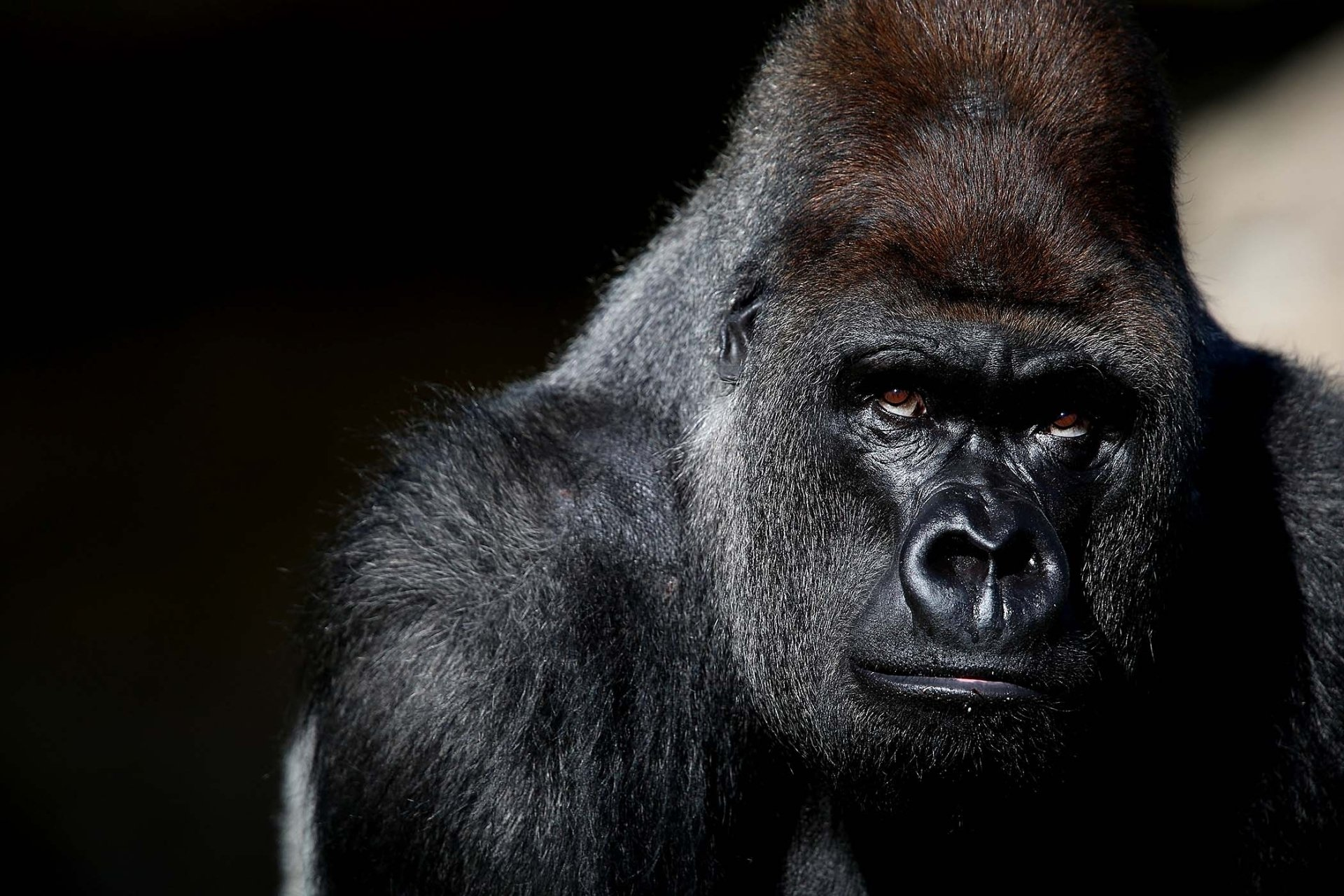 Gorilla Wallpapers Top Free Gorilla Backgrounds