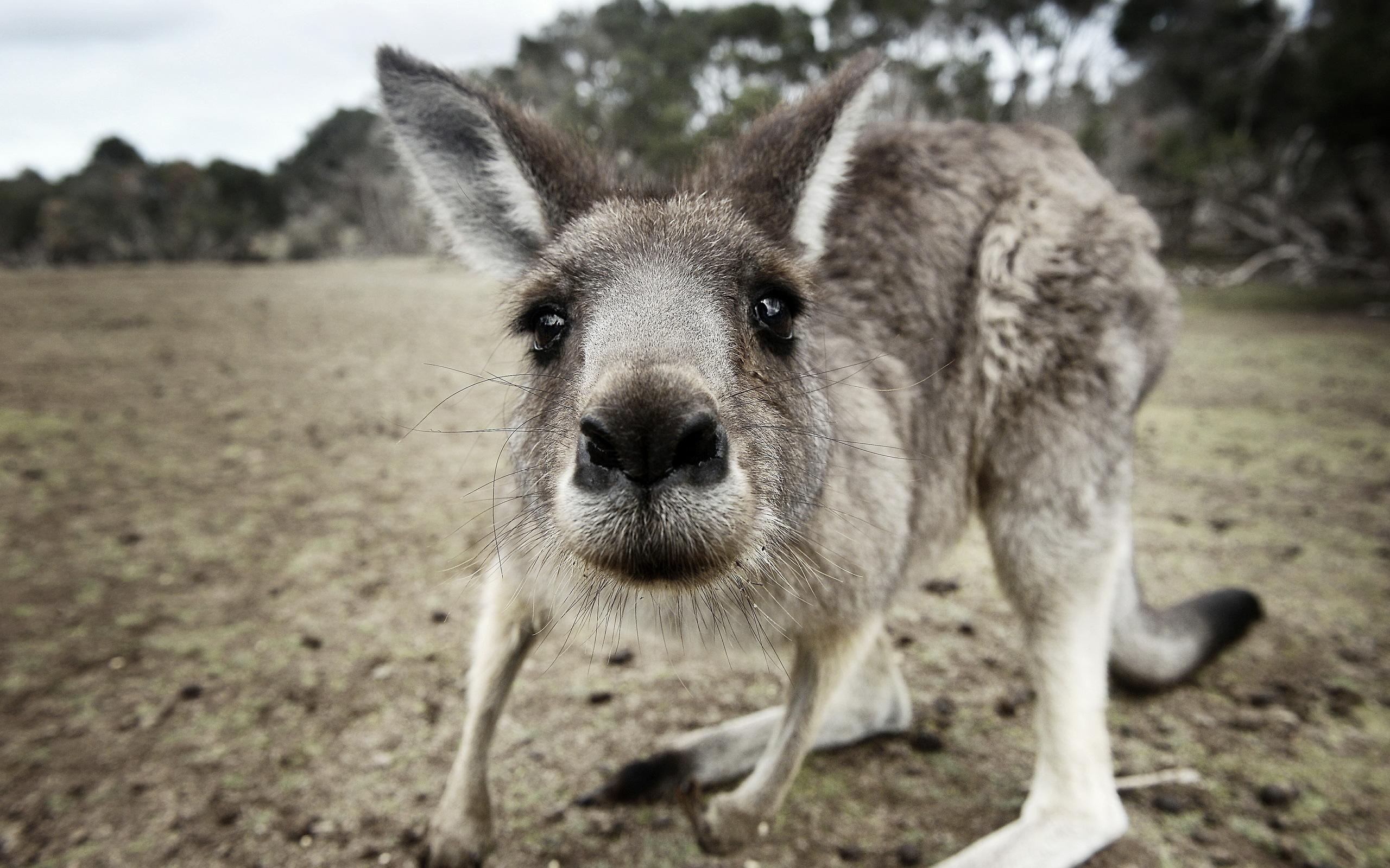 Kangaroo Wallpapers Top Free Kangaroo Backgrounds