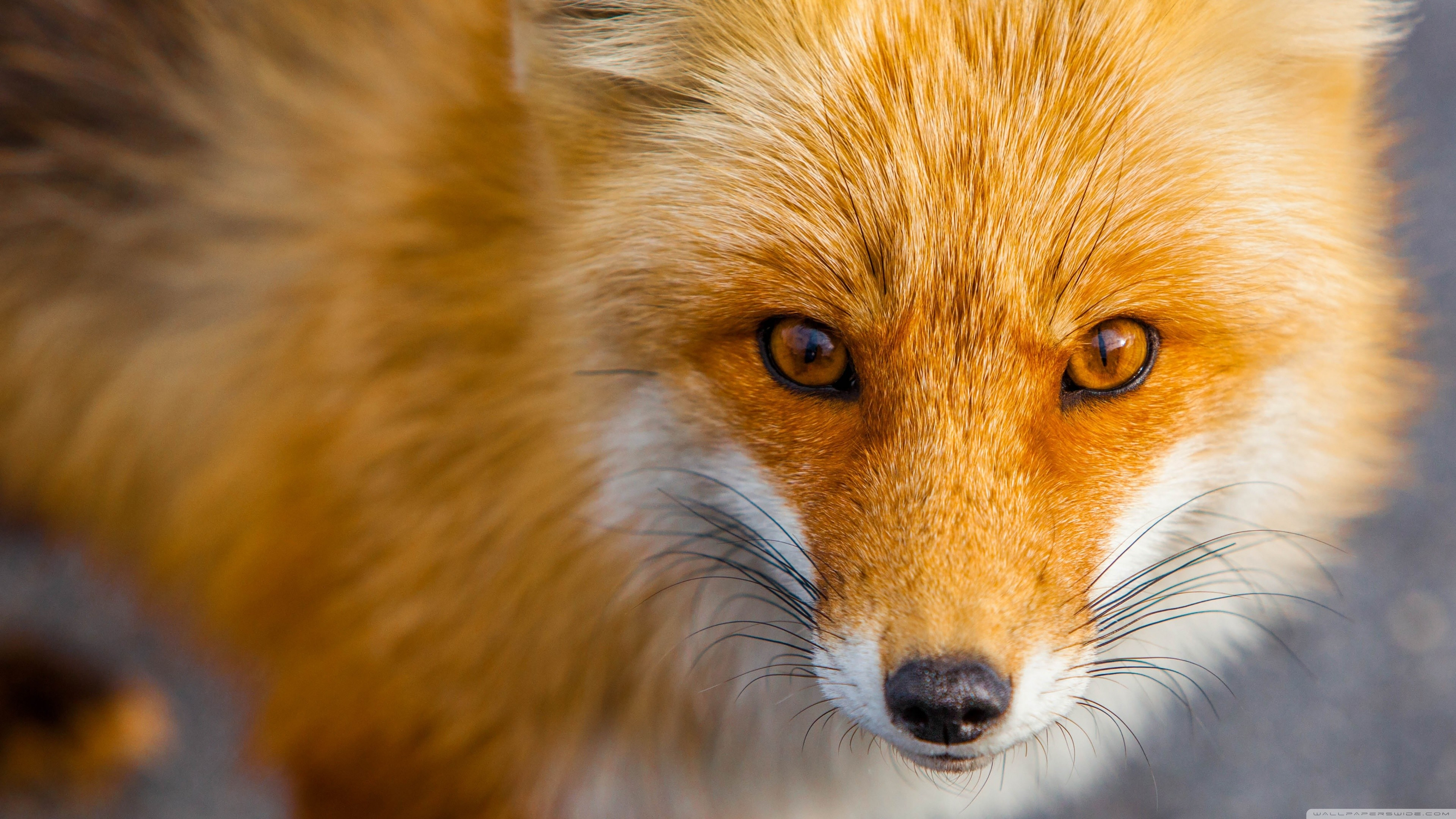 Red Fox Wallpapers Top Free Red Fox Backgrounds