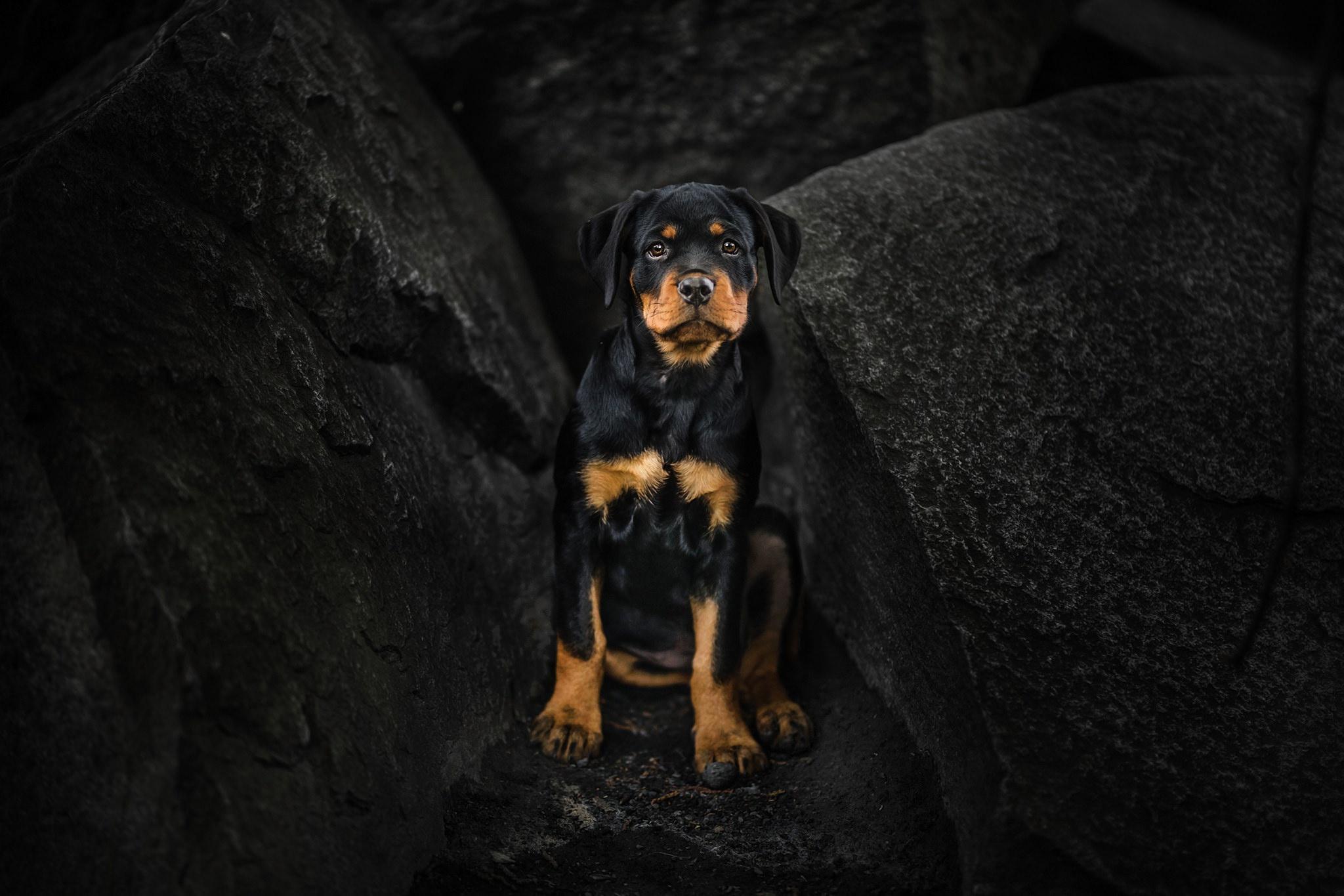 Rottweiler Wallpapers Top Free Rottweiler Backgrounds Wallpaperaccess