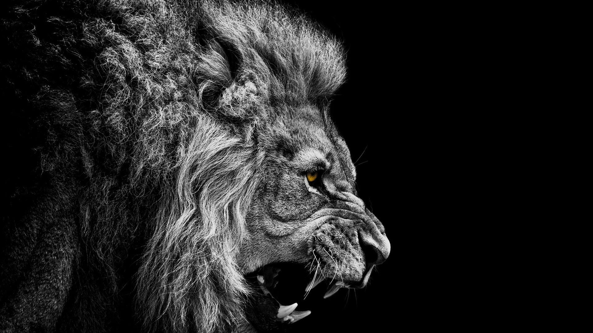 Black Lion Wallpapers Top Free Black Lion Backgrounds Wallpaperaccess