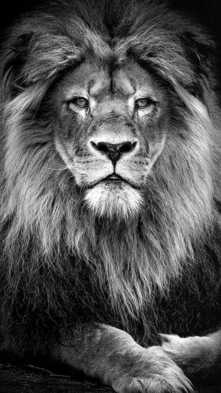 Black And White Lion Wallpapers Top Free Black And White Lion