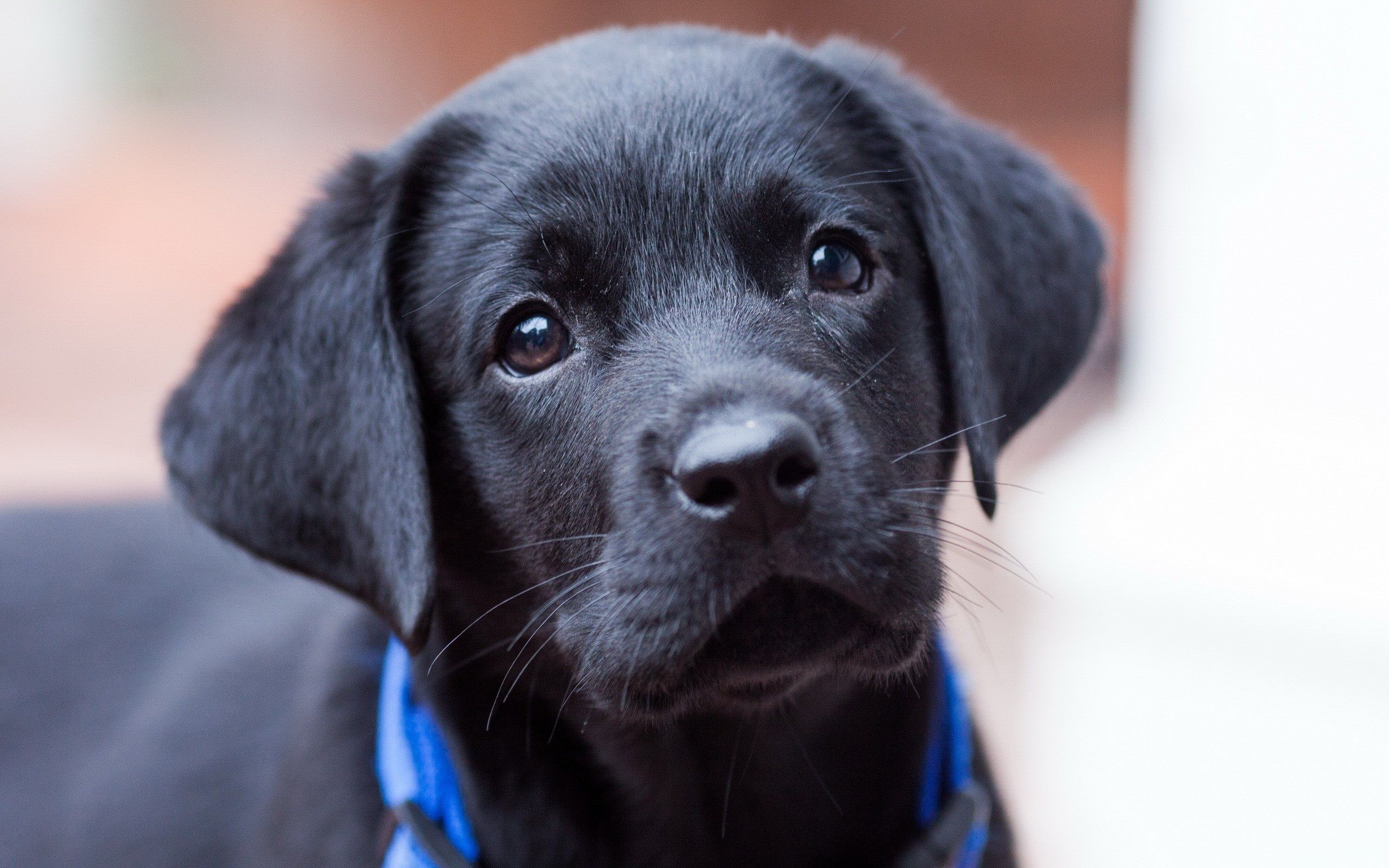 Black Puppy Wallpapers Top Free Black Puppy Backgrounds Wallpaperaccess