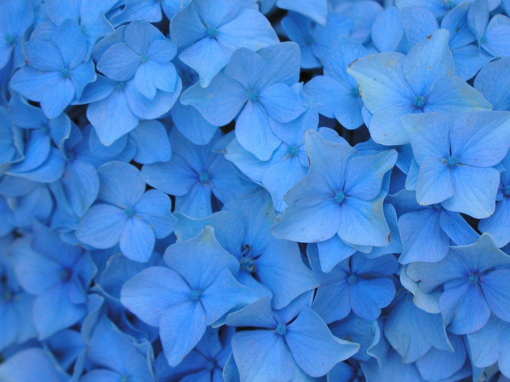 Blue Flower Wallpapers Top Free Blue Flower Backgrounds