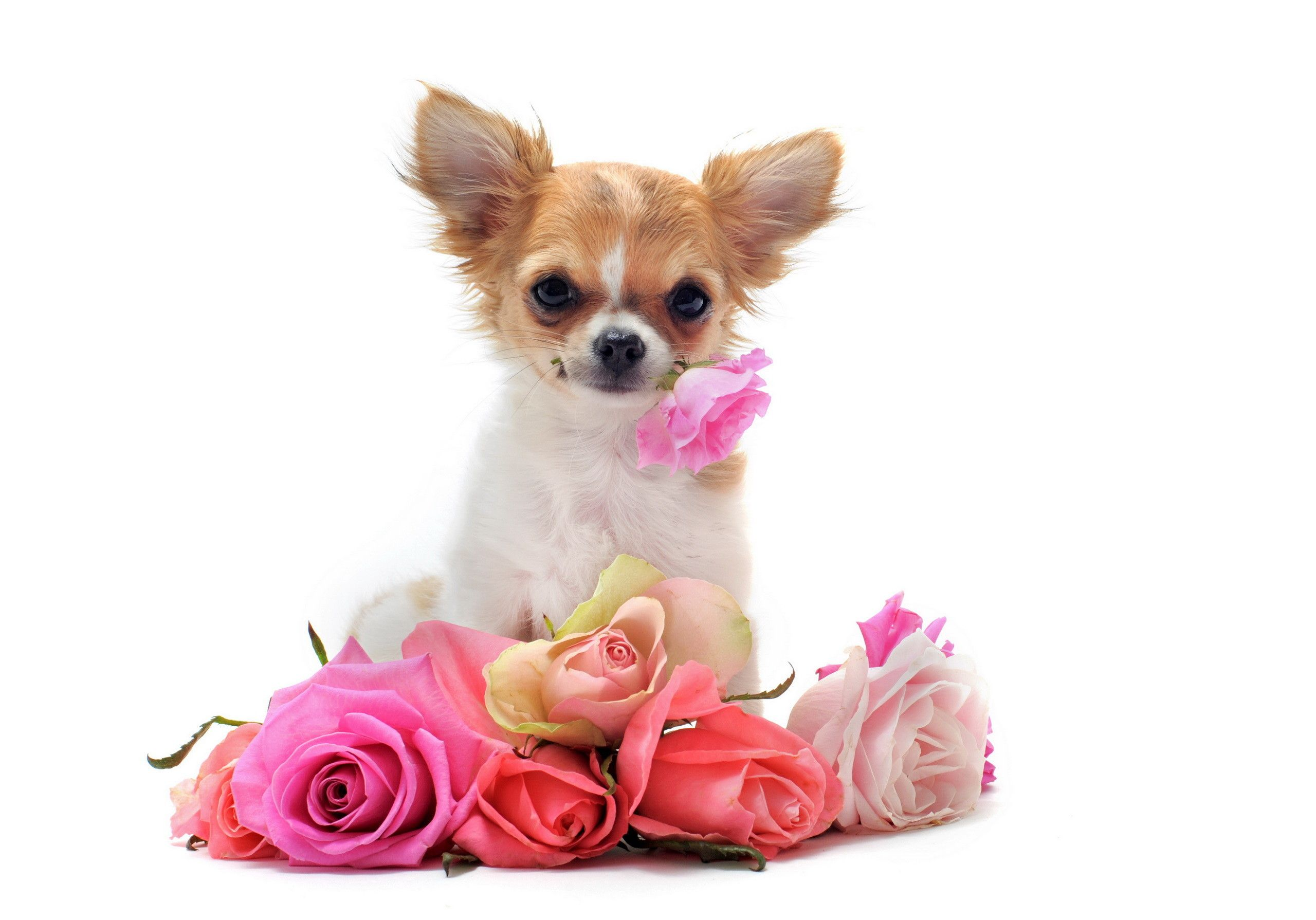 Cute Chihuahua Dogs Wallpapers - Top