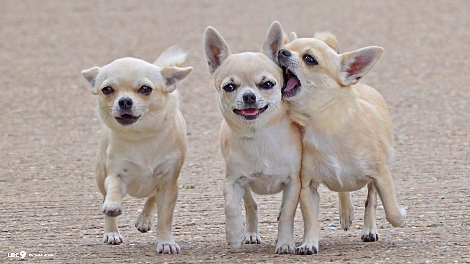 Cute Chihuahua Dogs Wallpapers Top Free Cute Chihuahua Dogs Backgrounds Wallpaperaccess