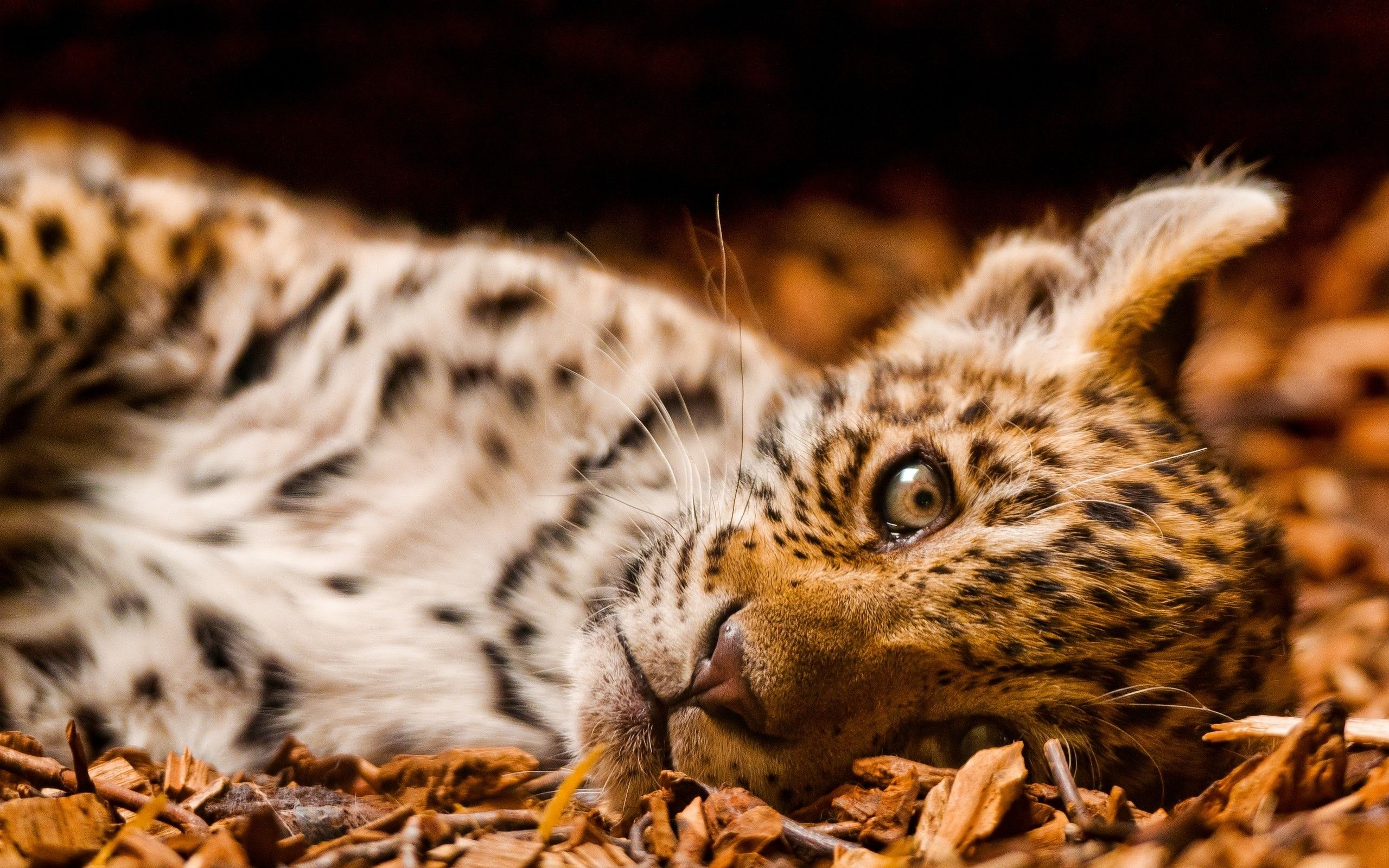 Cute Jaguar Wallpapers Top Free Cute Jaguar Backgrounds Wallpaperaccess