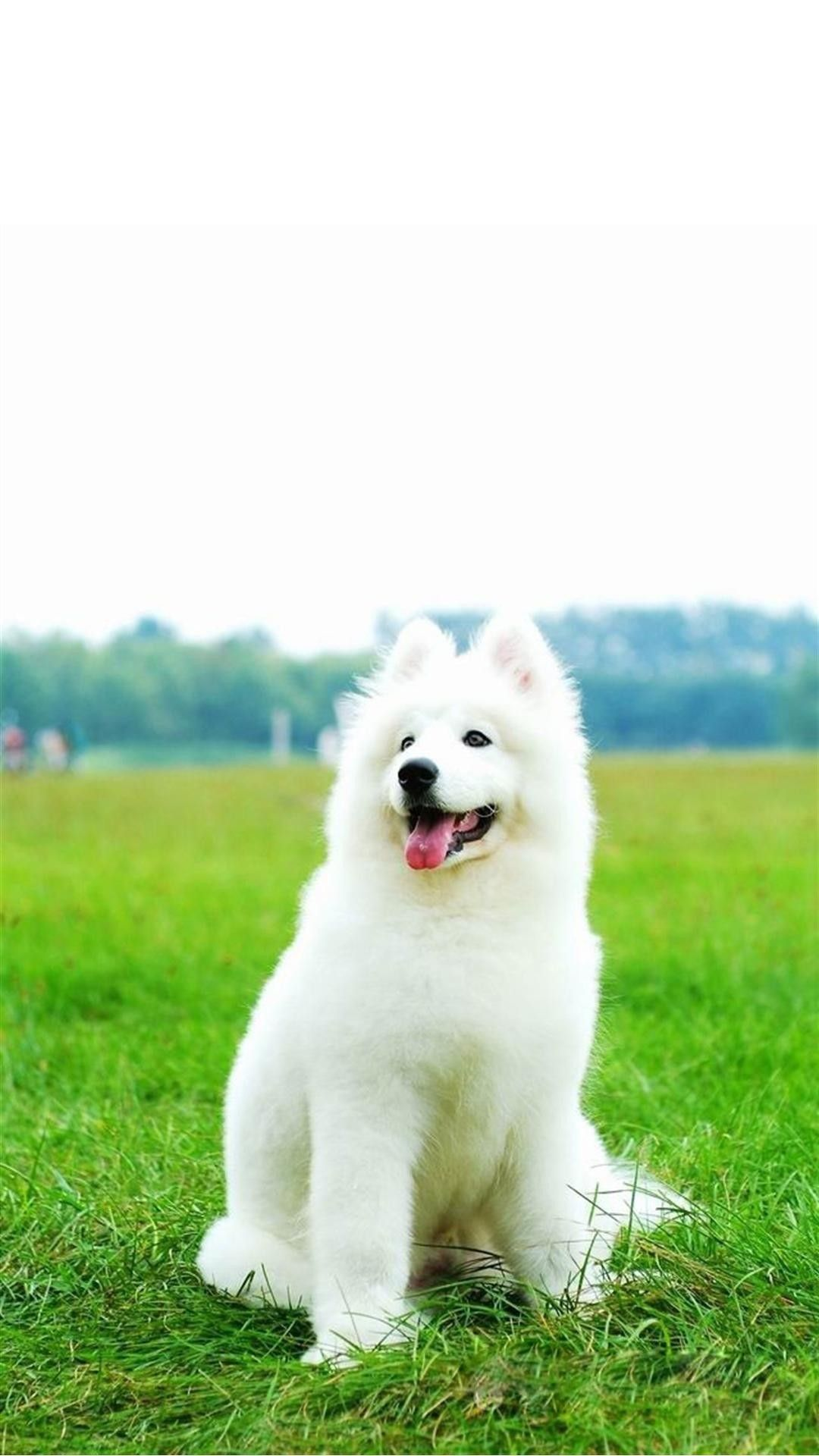 Cute White Dog Wallpapers Top Free Cute White Dog Backgrounds Wallpaperaccess