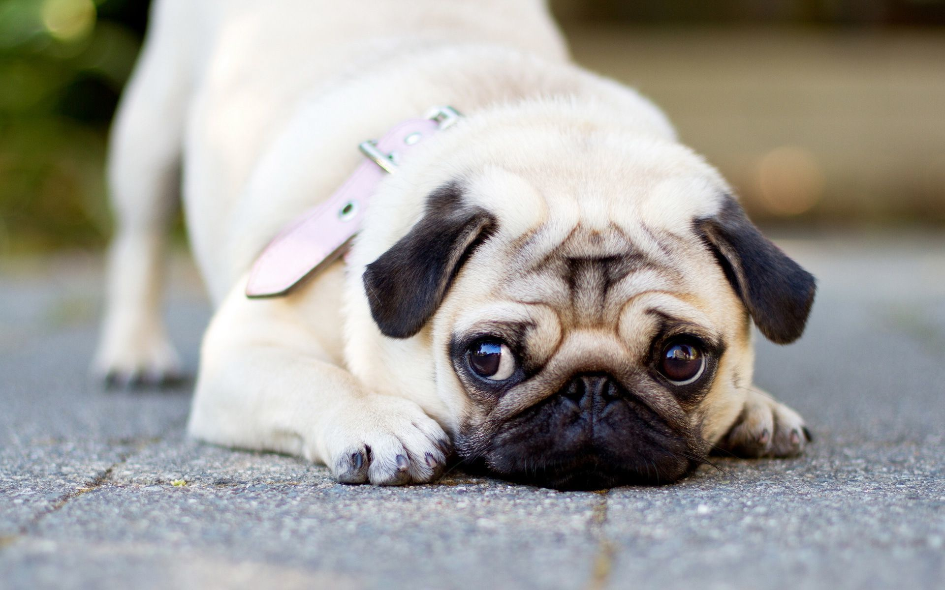 Cute Pug Dog Wallpapers Top Free Cute Pug Dog Backgrounds Wallpaperaccess