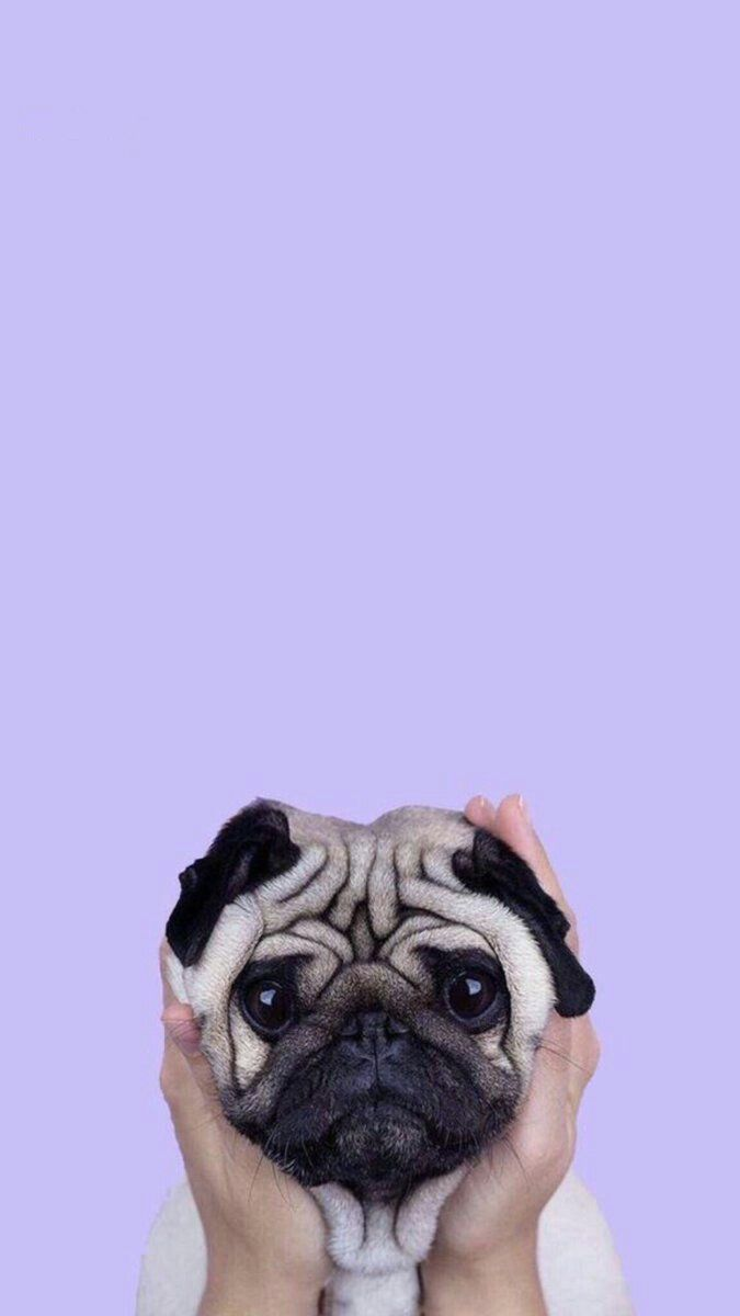 PUG LAUGHING DOG ADORABLE iphone case