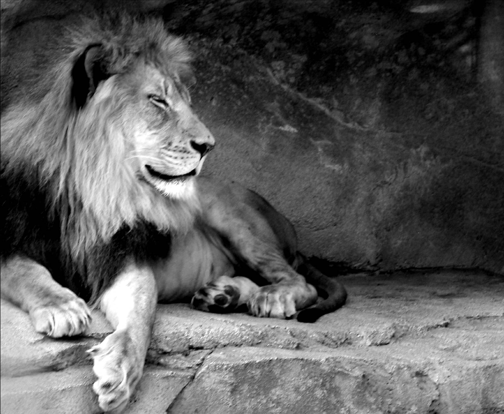 Black And White Lion Wallpapers Top Free Black And White