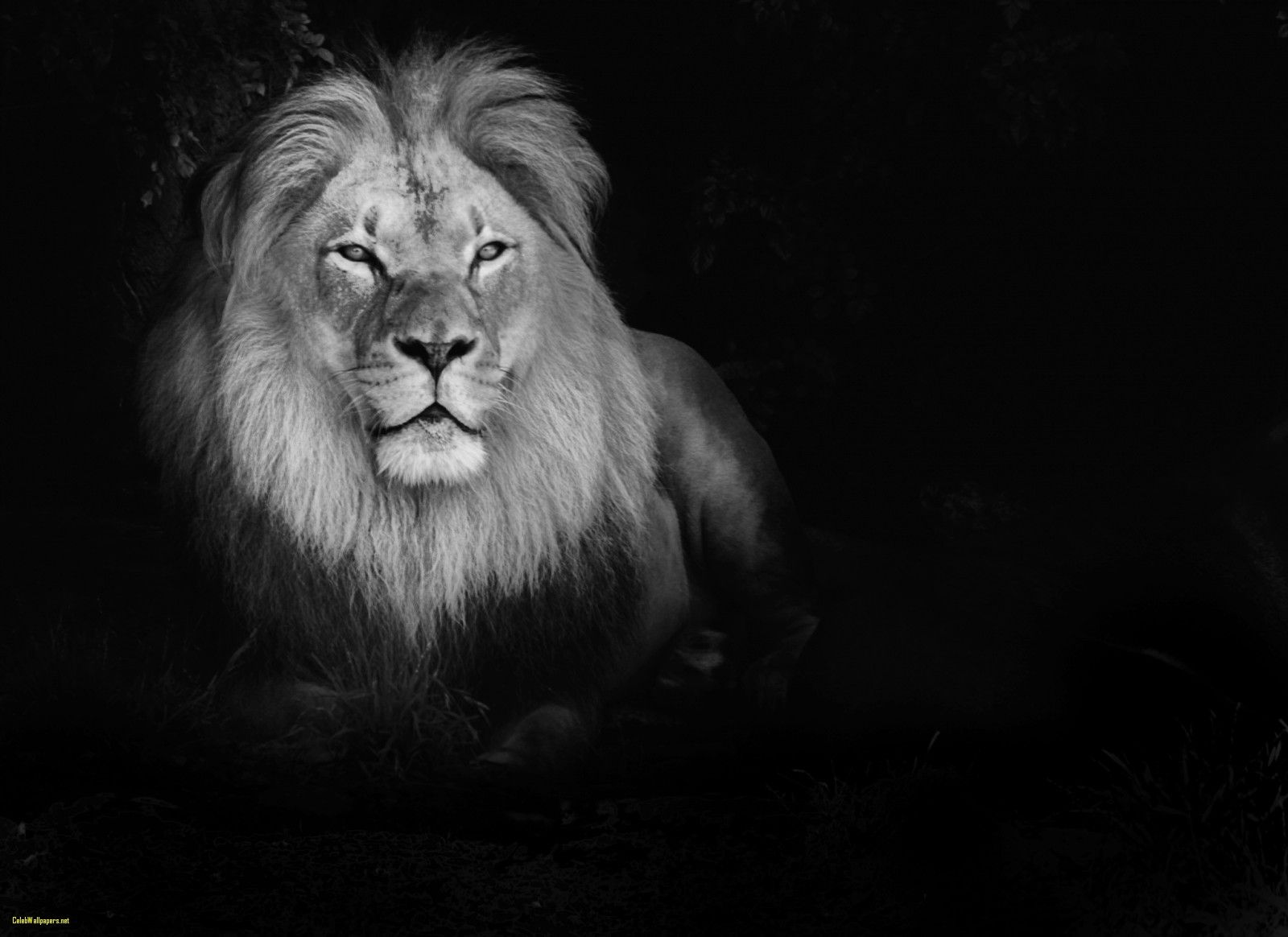 Black And White Lion Wallpapers Top Free Black And White Lion Backgrounds Wallpaperaccess