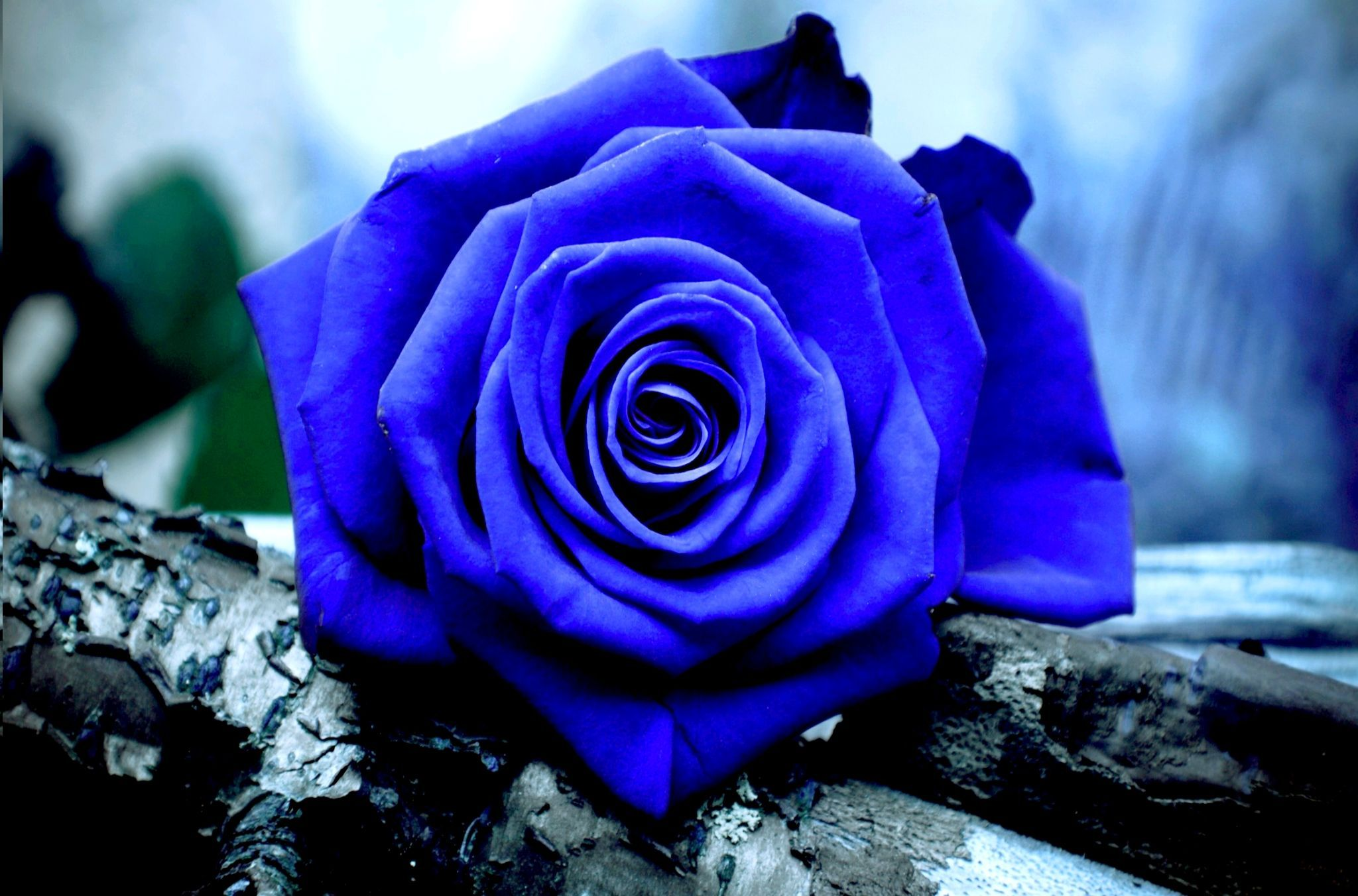 Blue Rose Wallpapers - Top Free Blue Rose Backgrounds ...