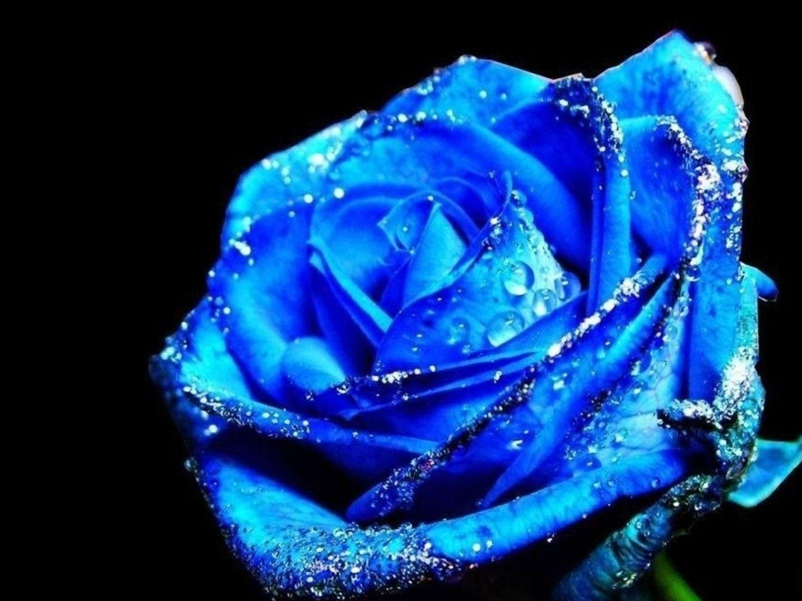 Blue Rose Wallpapers Top Free Blue Rose Backgrounds Wallpaperaccess
