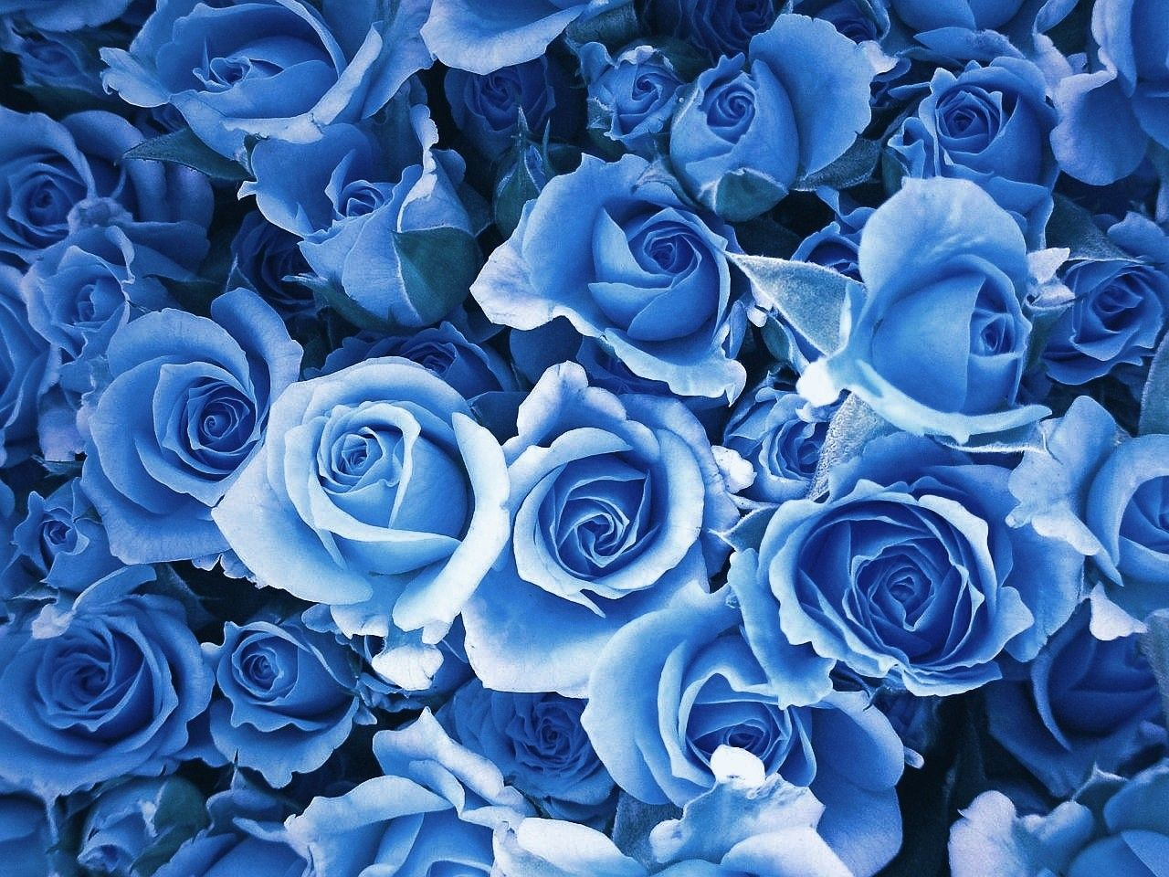 Blue Rose Wallpapers Top Free Blue Rose Backgrounds