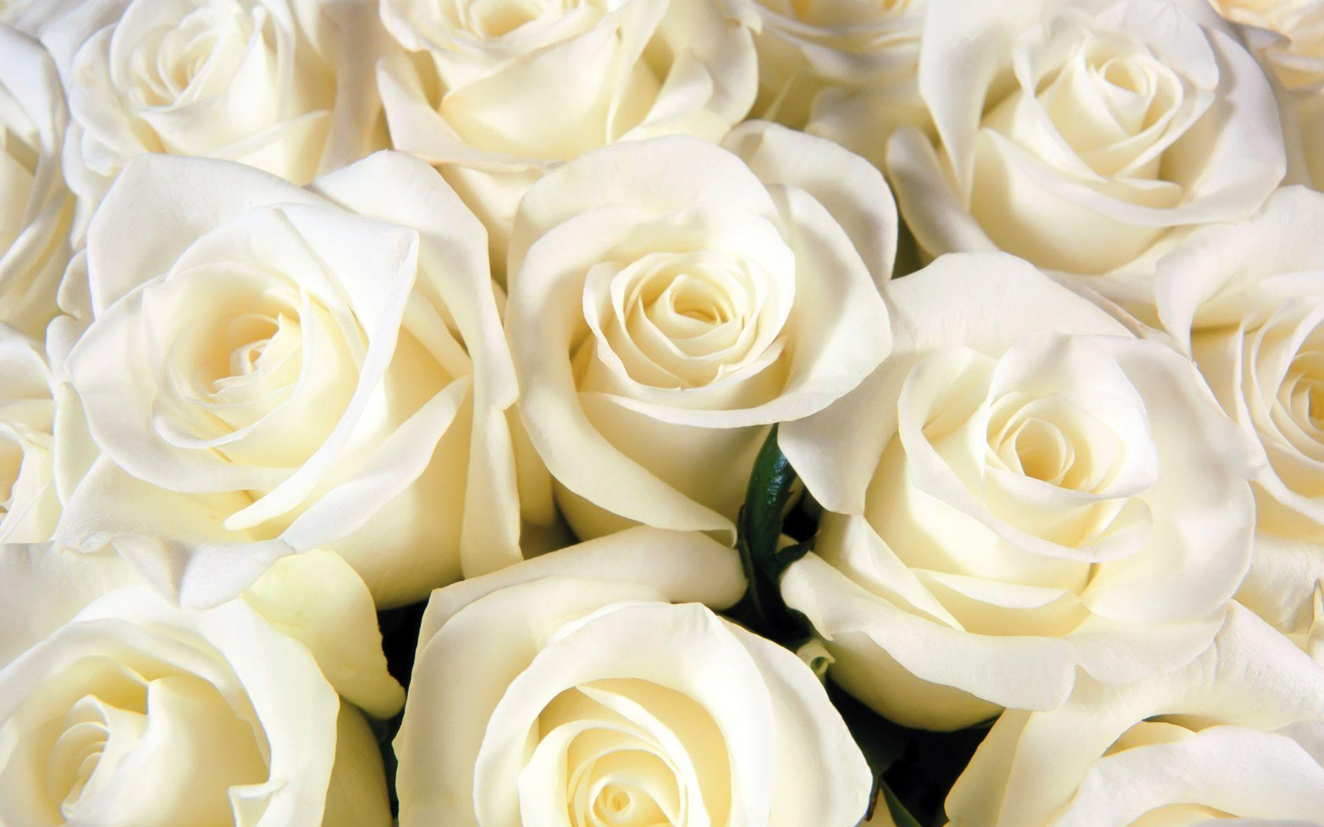 white rose wallpapers top free white