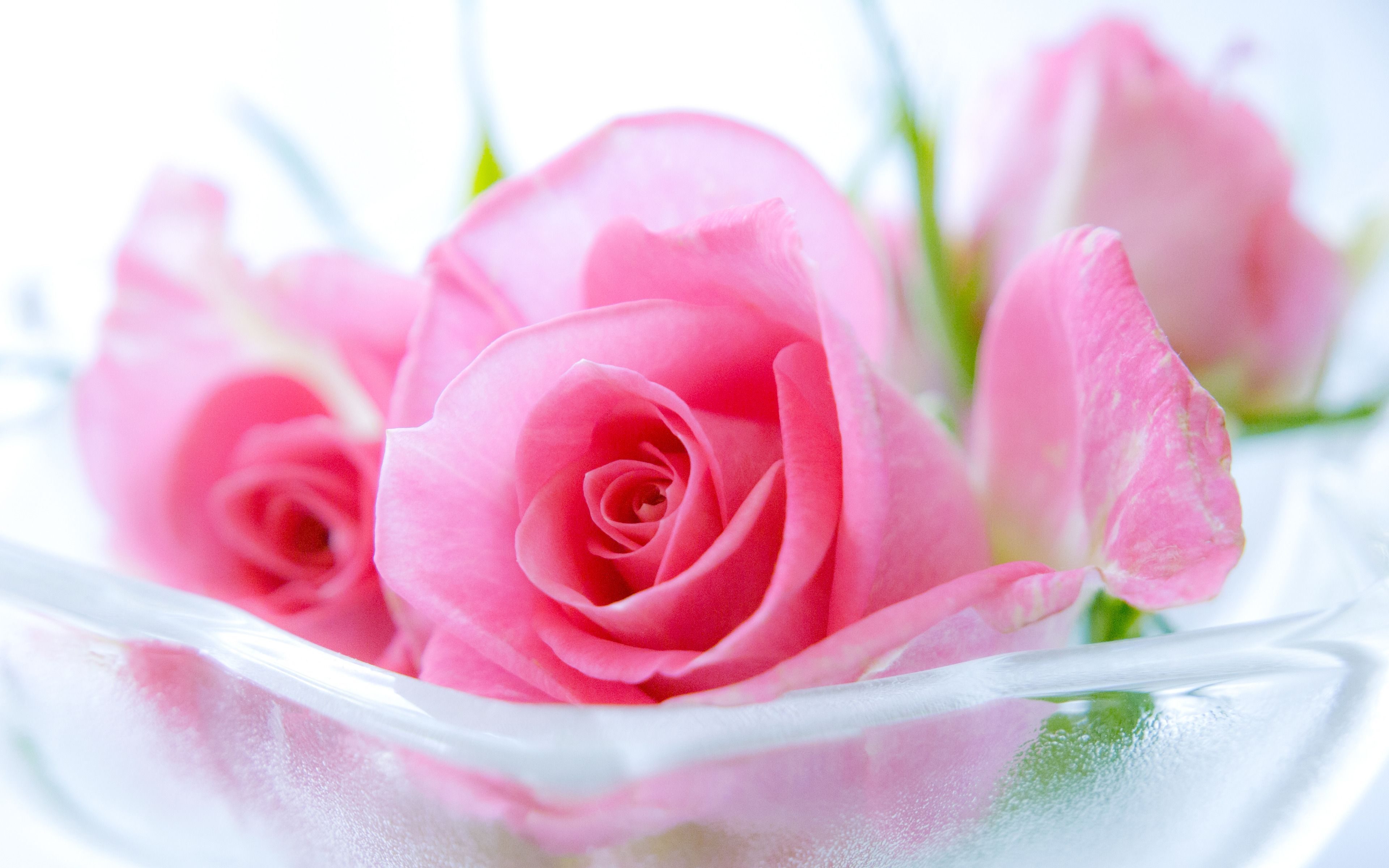 Pink Roses Wallpapers Top Free Pink Roses Backgrounds Wallpaperaccess