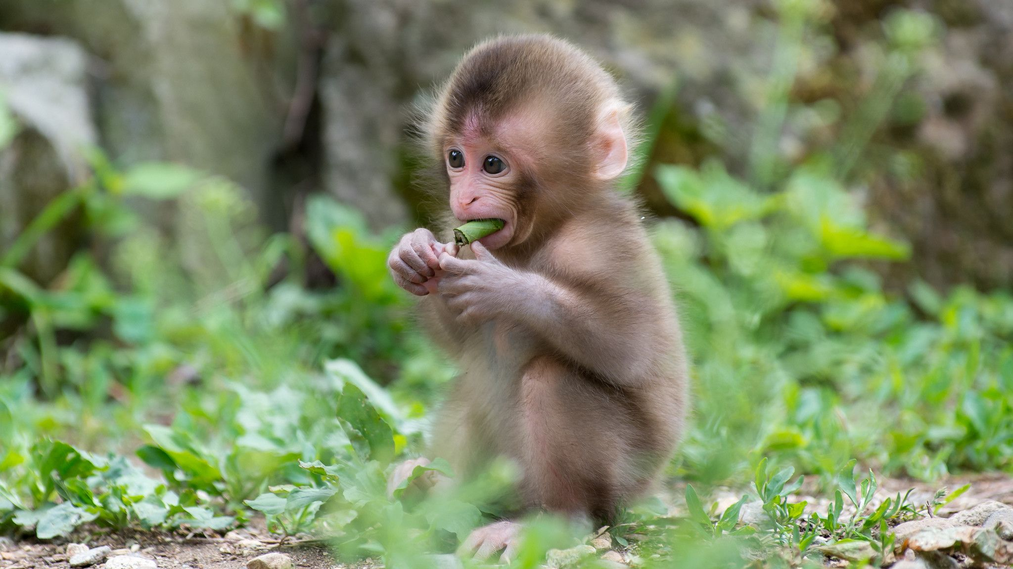 Baby Monkey Wallpapers Top Free Baby Monkey Backgrounds Images, Photos, Reviews