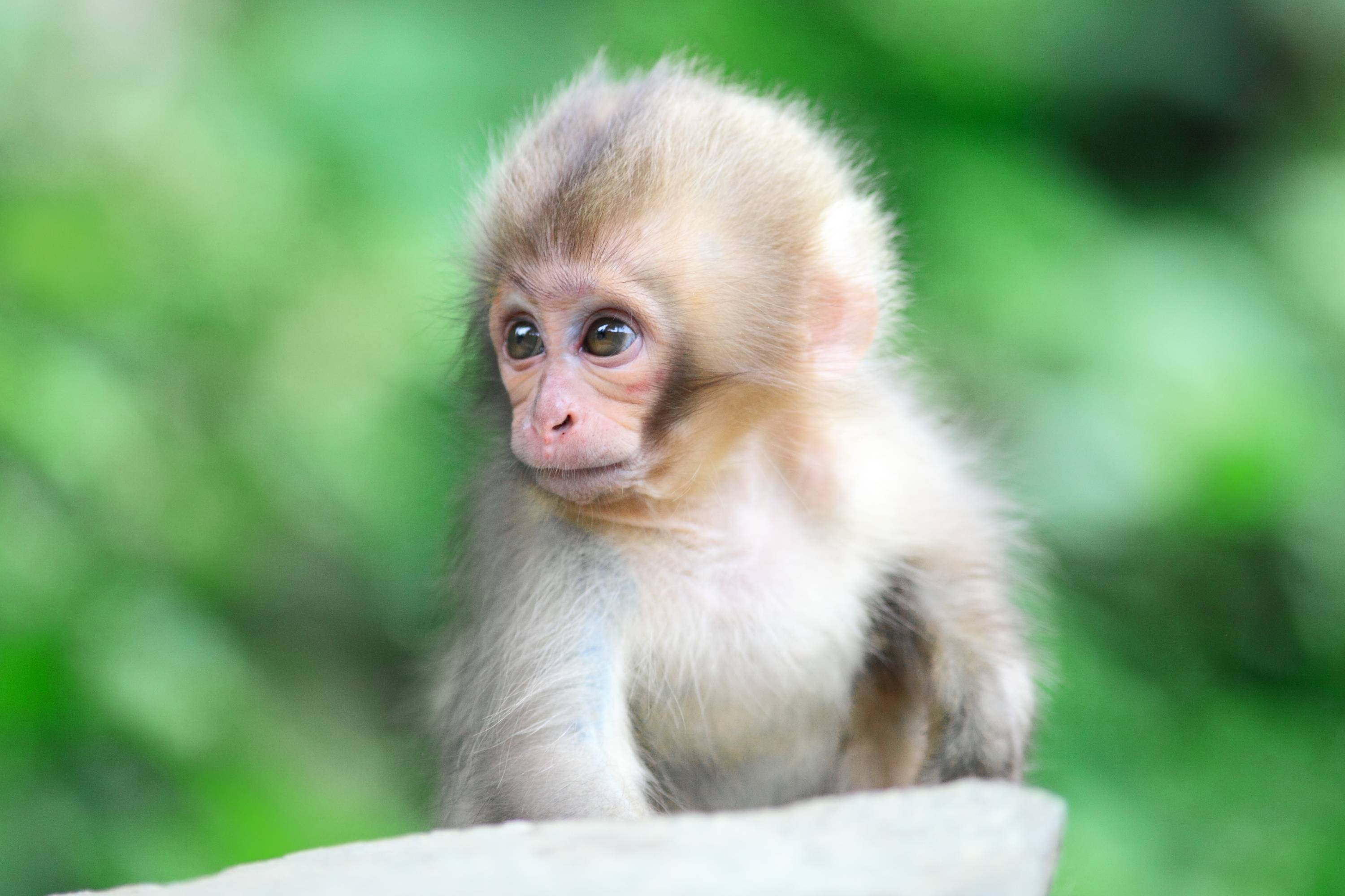 Baby Monkey Wallpapers Top Free Baby Monkey Backgrounds