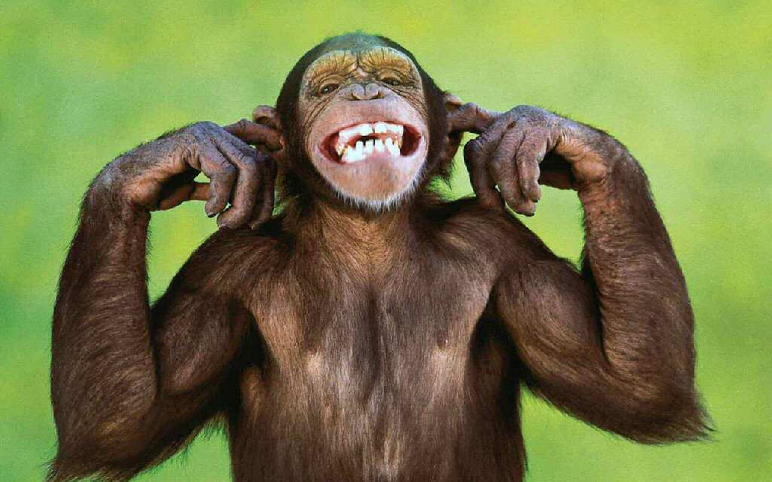 Funny Monkey Wallpapers Top Free Funny Monkey Backgrounds