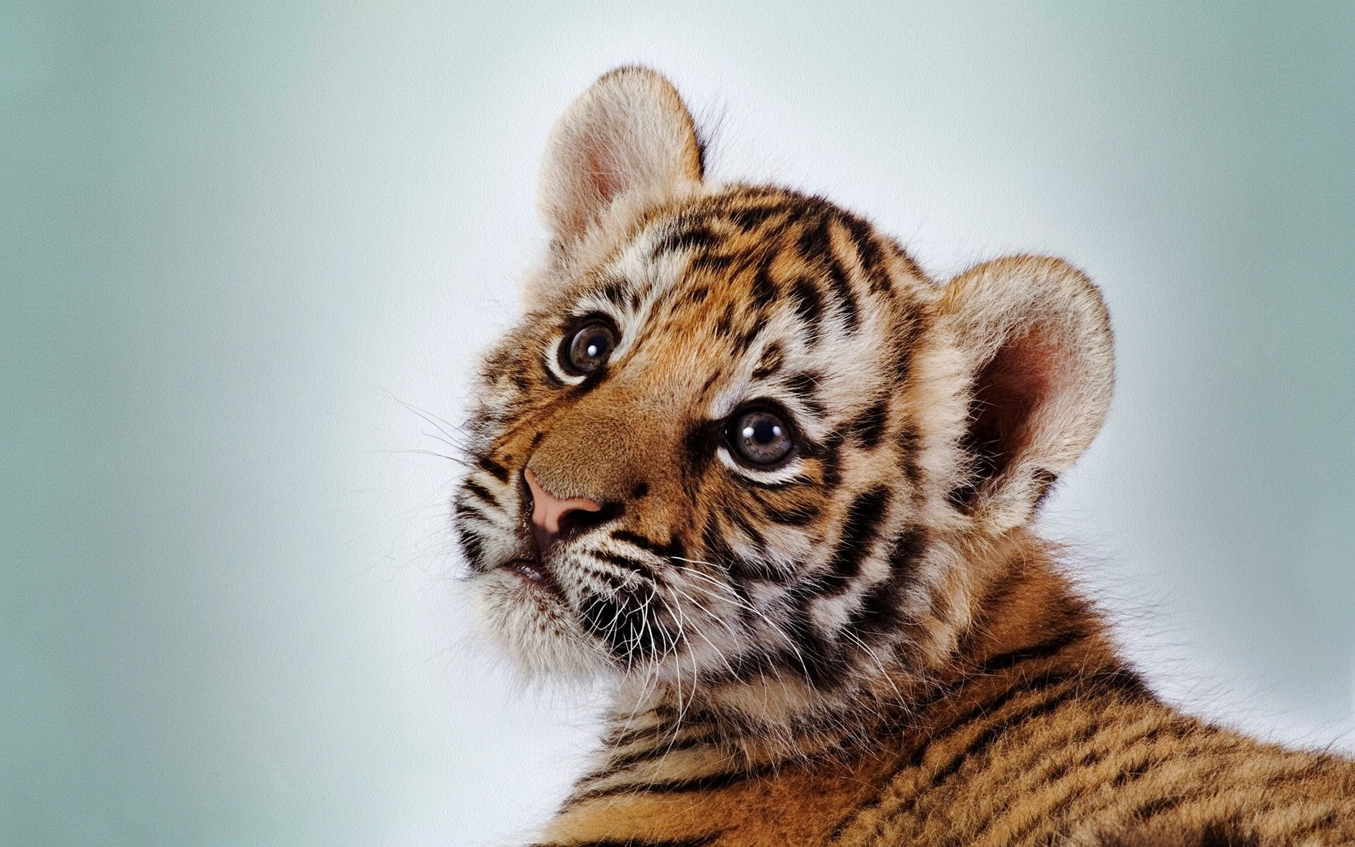 Baby Tiger Wallpapers Top Free Baby Tiger Backgrounds Wallpaperaccess