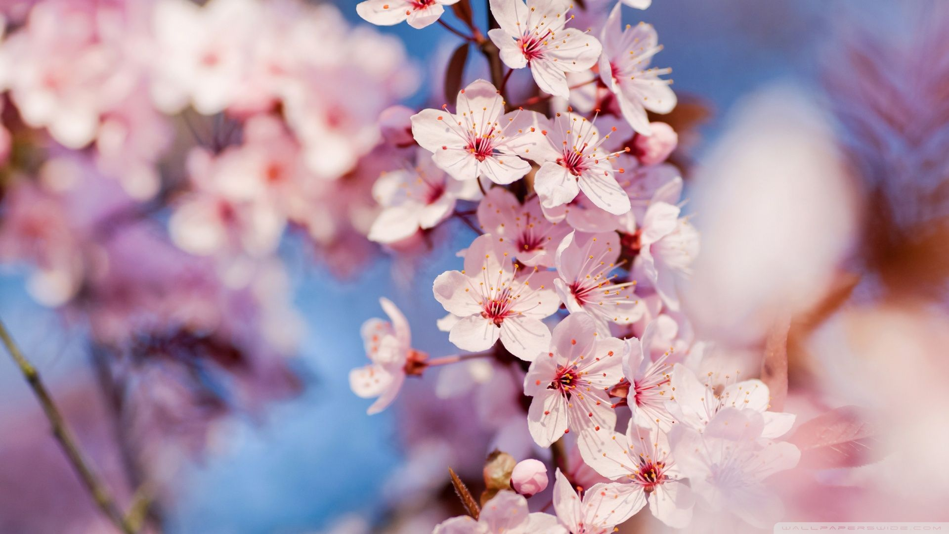 Cherry Blossom Desktop Wallpapers Top Free Cherry Blossom Desktop Backgrounds Wallpaperaccess