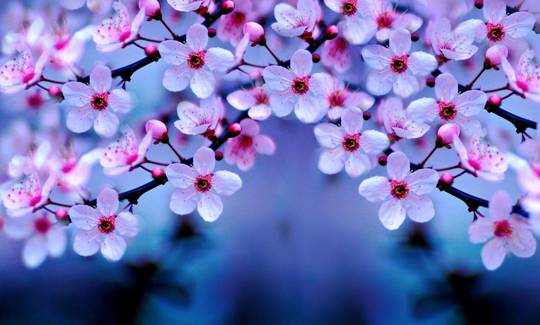 Cherry Blossom Desktop Wallpapers Top Free Cherry Blossom