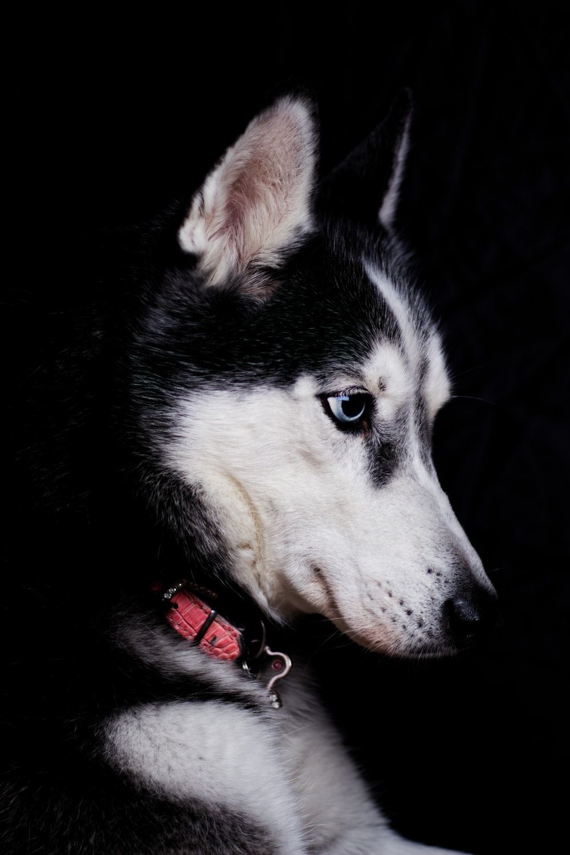 Husky Dog Wallpapers Top Free Husky Dog Backgrounds Wallpaperaccess