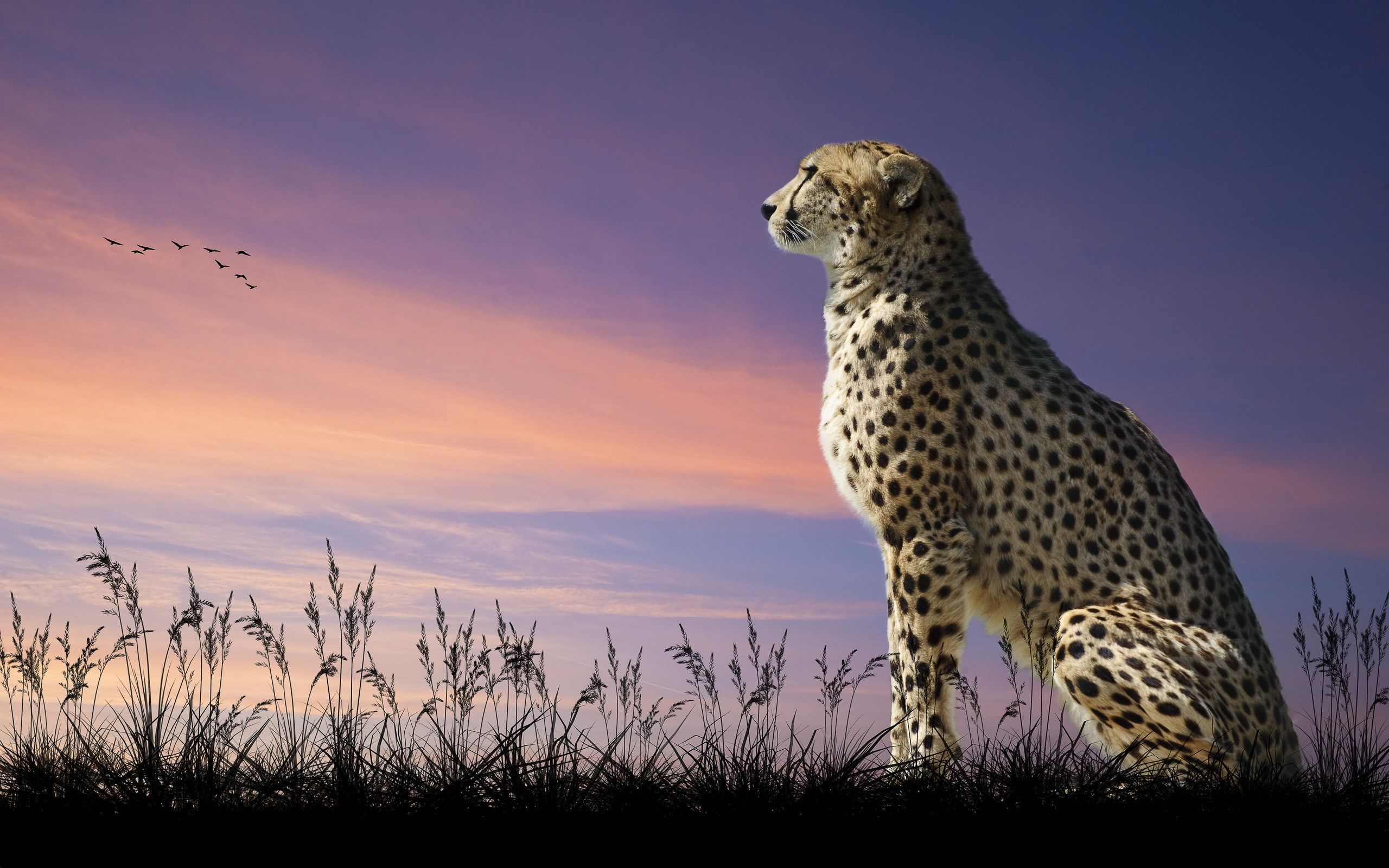 Cheetah Wallpapers Top Free Cheetah Backgrounds Wallpaperaccess