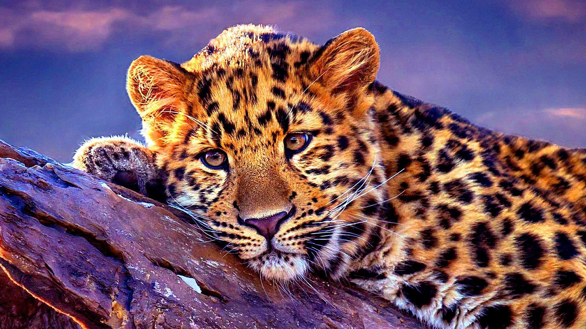 здесь леопард картинки на телефон леопард сказать