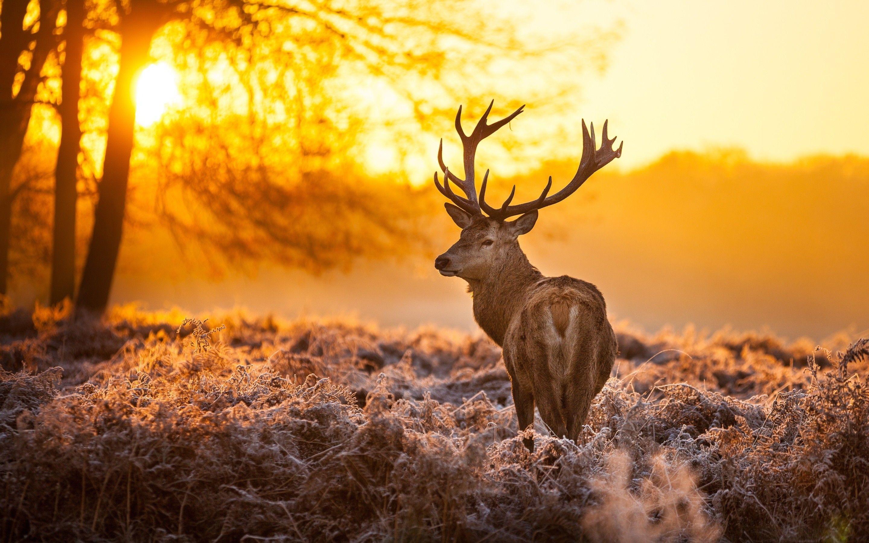 Deer Wallpapers Top Free Deer Backgrounds Wallpaperaccess