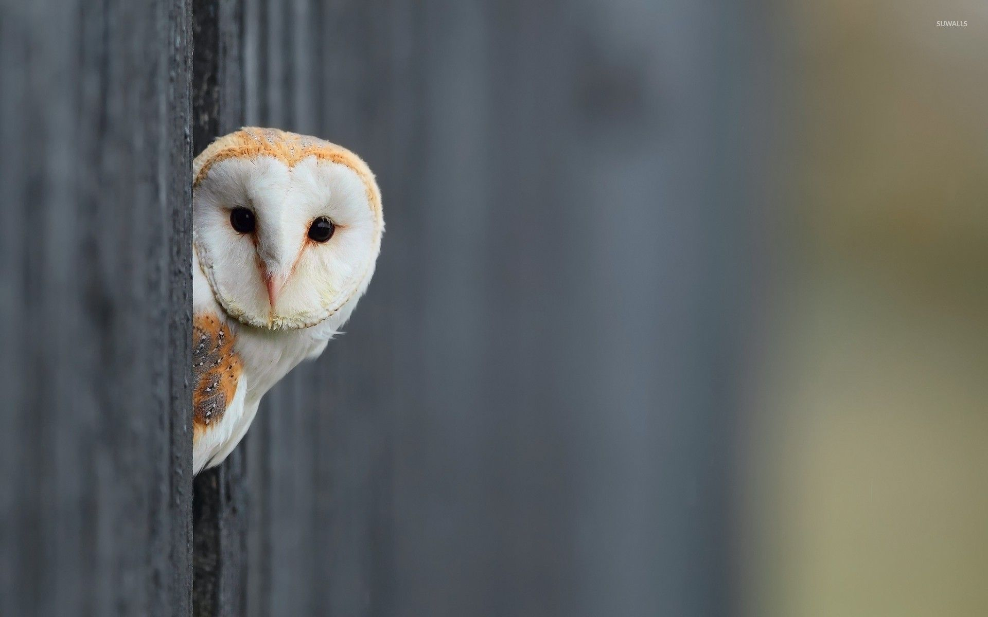 Barn Owl Wallpapers Top Free Barn Owl Backgrounds Wallpaperaccess