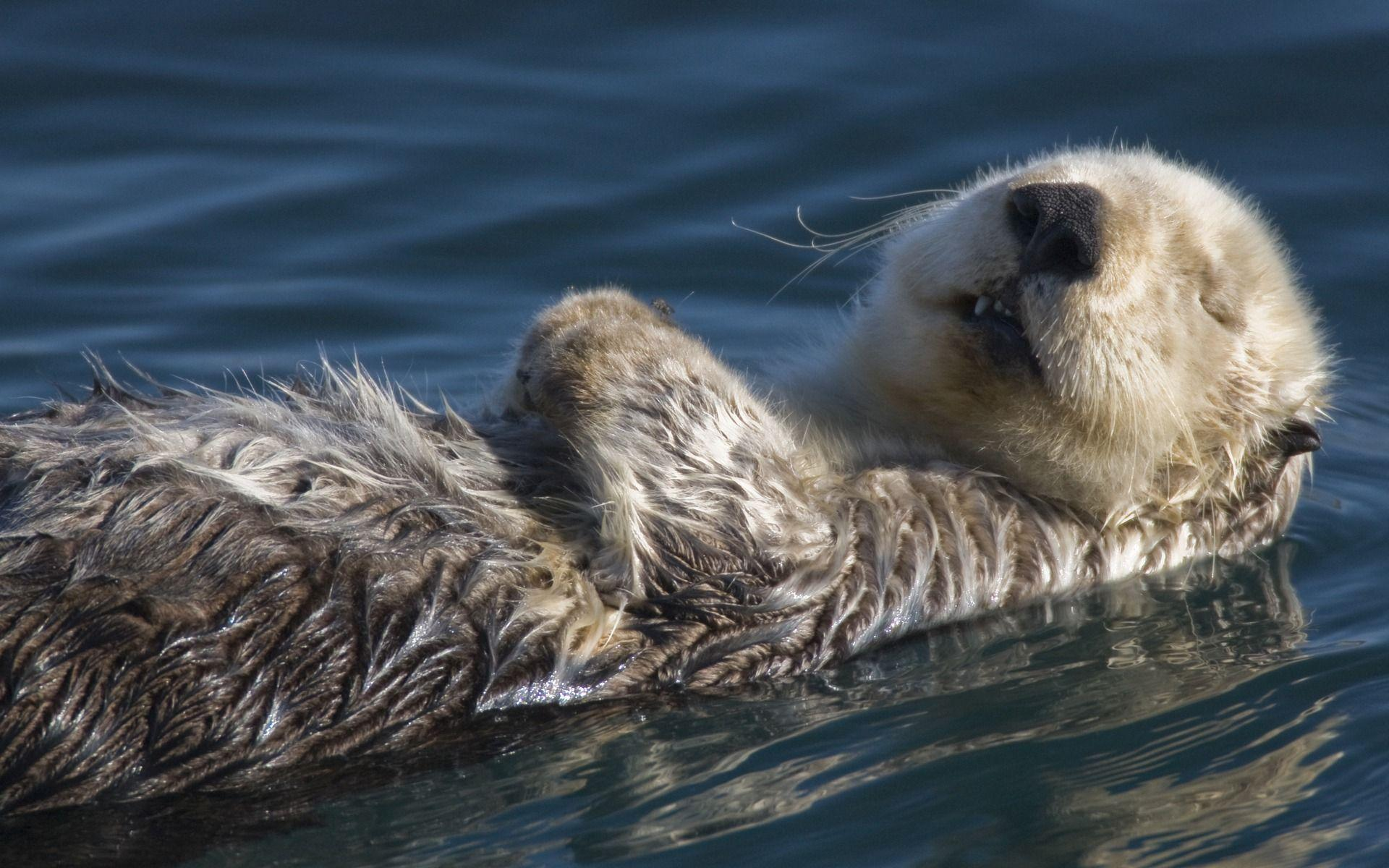 Otter Wallpapers Top Free Otter Backgrounds Wallpaperaccess