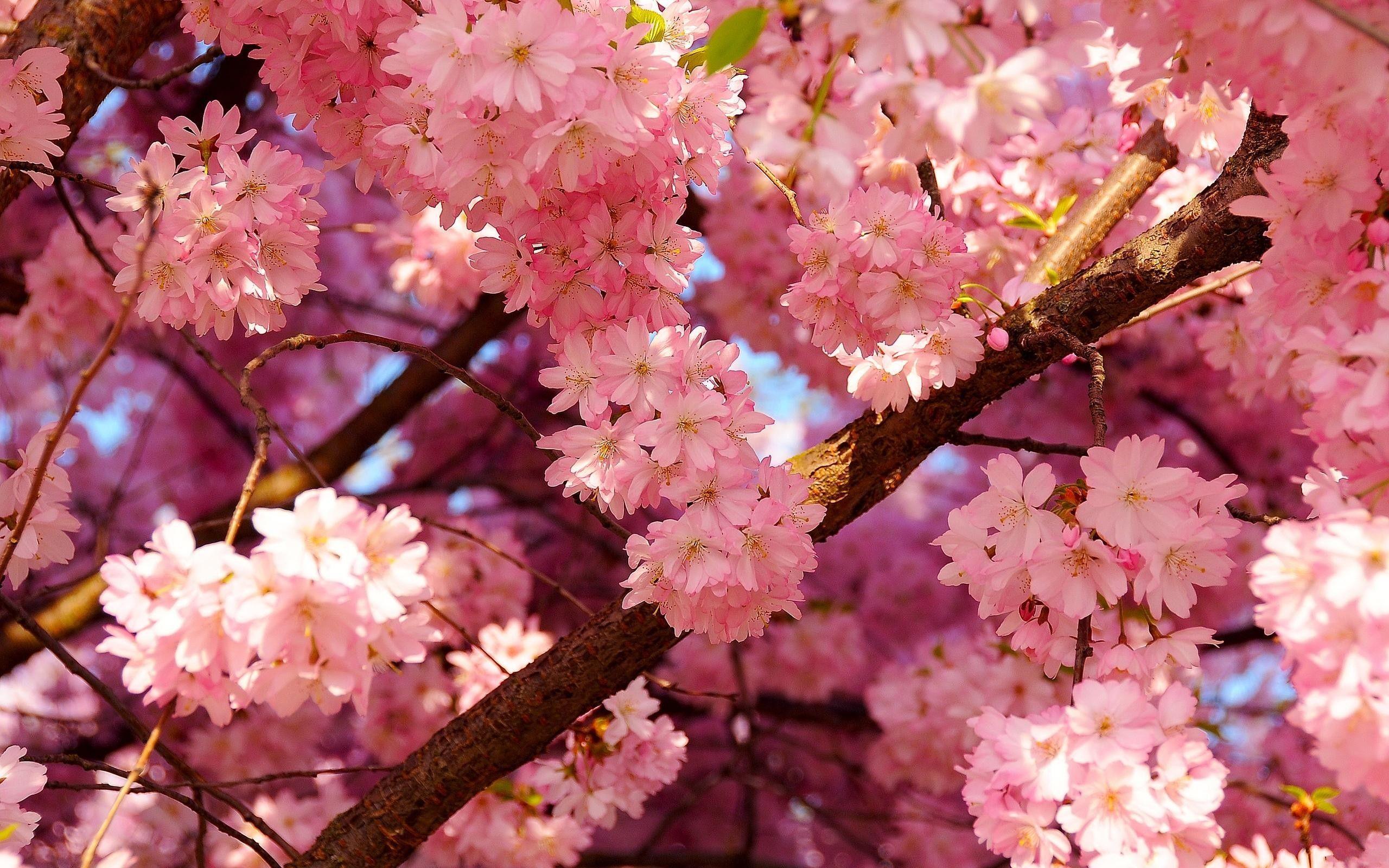Pink Cherry Blossom Desktop Wallpapers - Top Free Pink ...